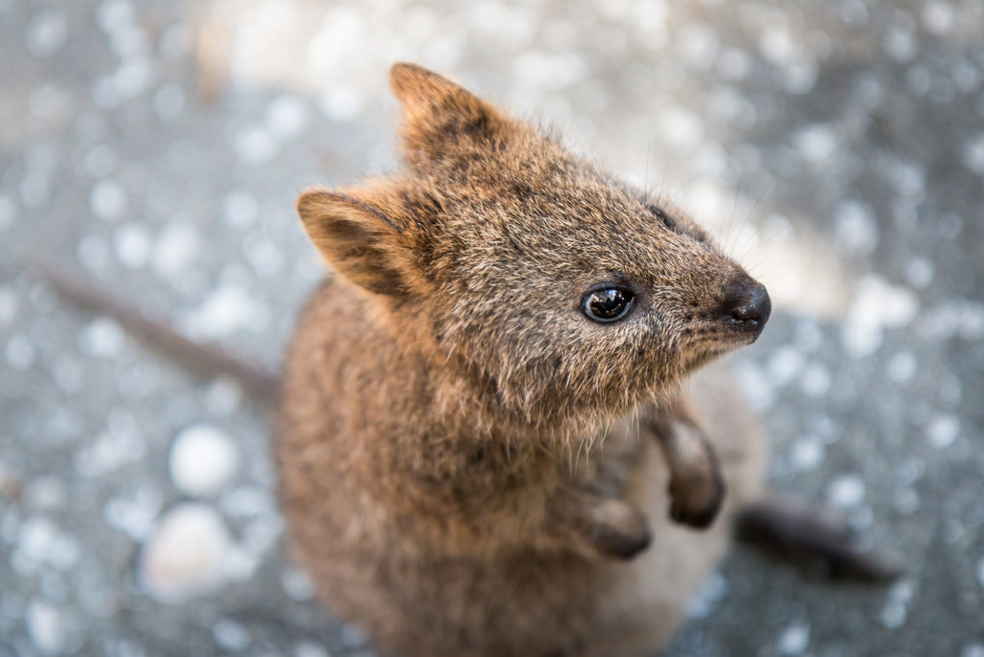 Quokka, the World's Happiest Animal in Western Australia - Best Season