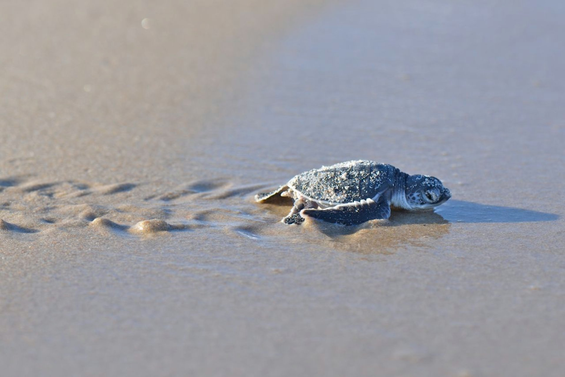 Sea Turtle Hatchlings in Tanzania - Best Season 2019