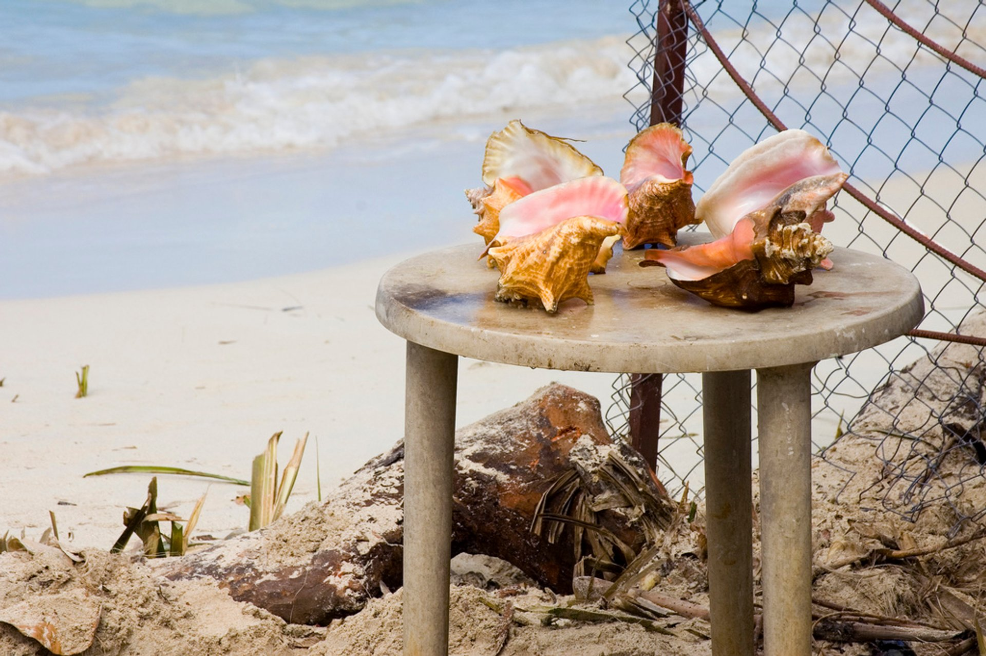 Queen Conch Season in Jamaica 2020 - Best Time