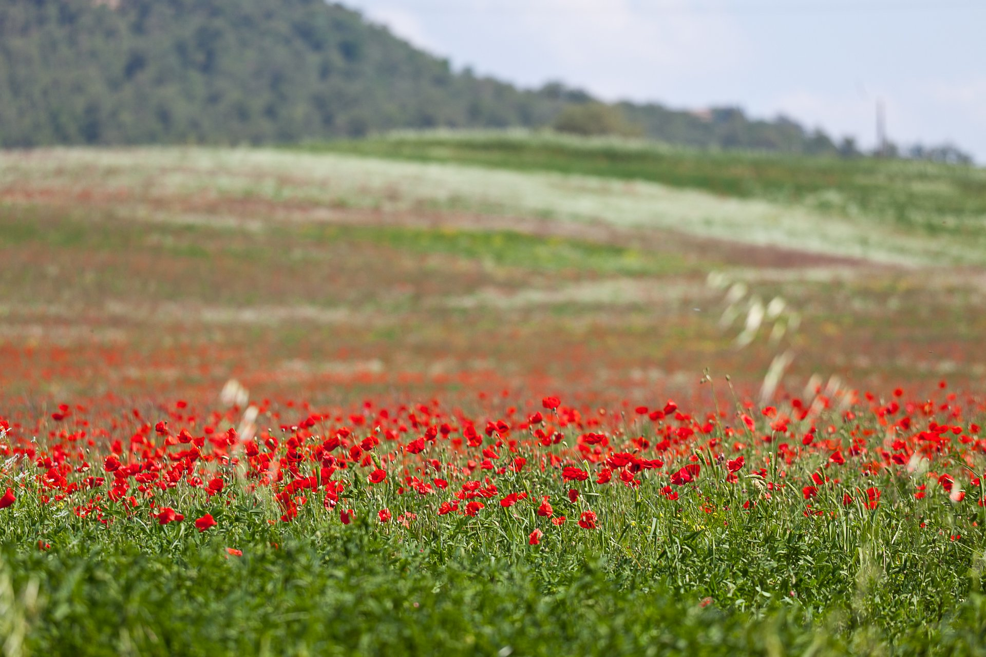 Wild Poppy Bloom  in Tuscany 2020 - Best Time