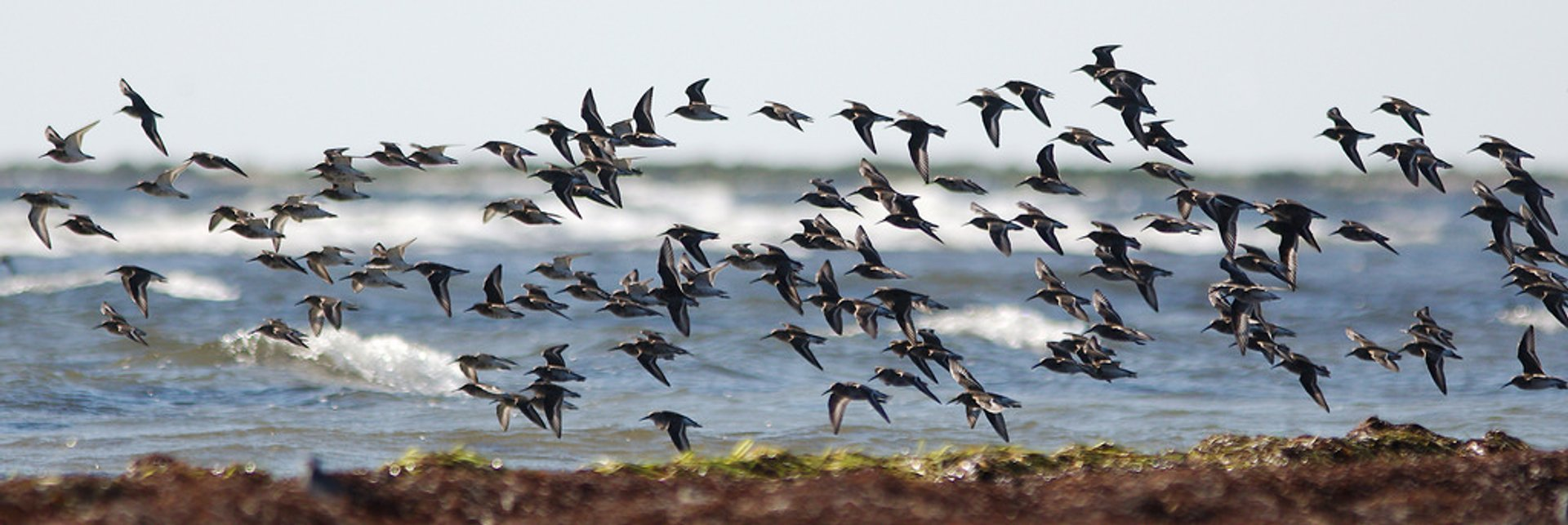Migrating Birds at Falsterbo in Sweden - Best Time