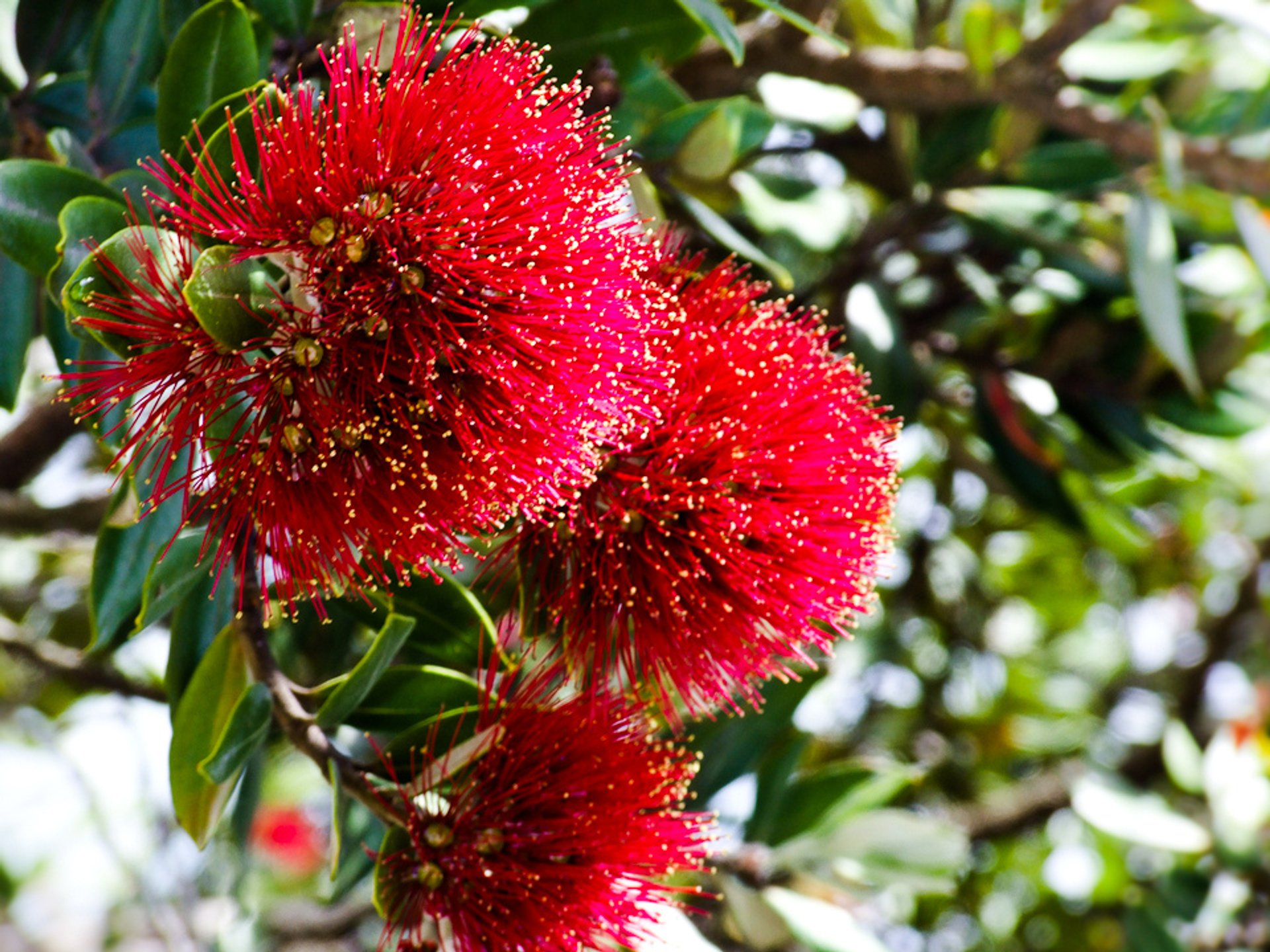 Pohutukawa Tree in New Zealand 2019 - Best Time