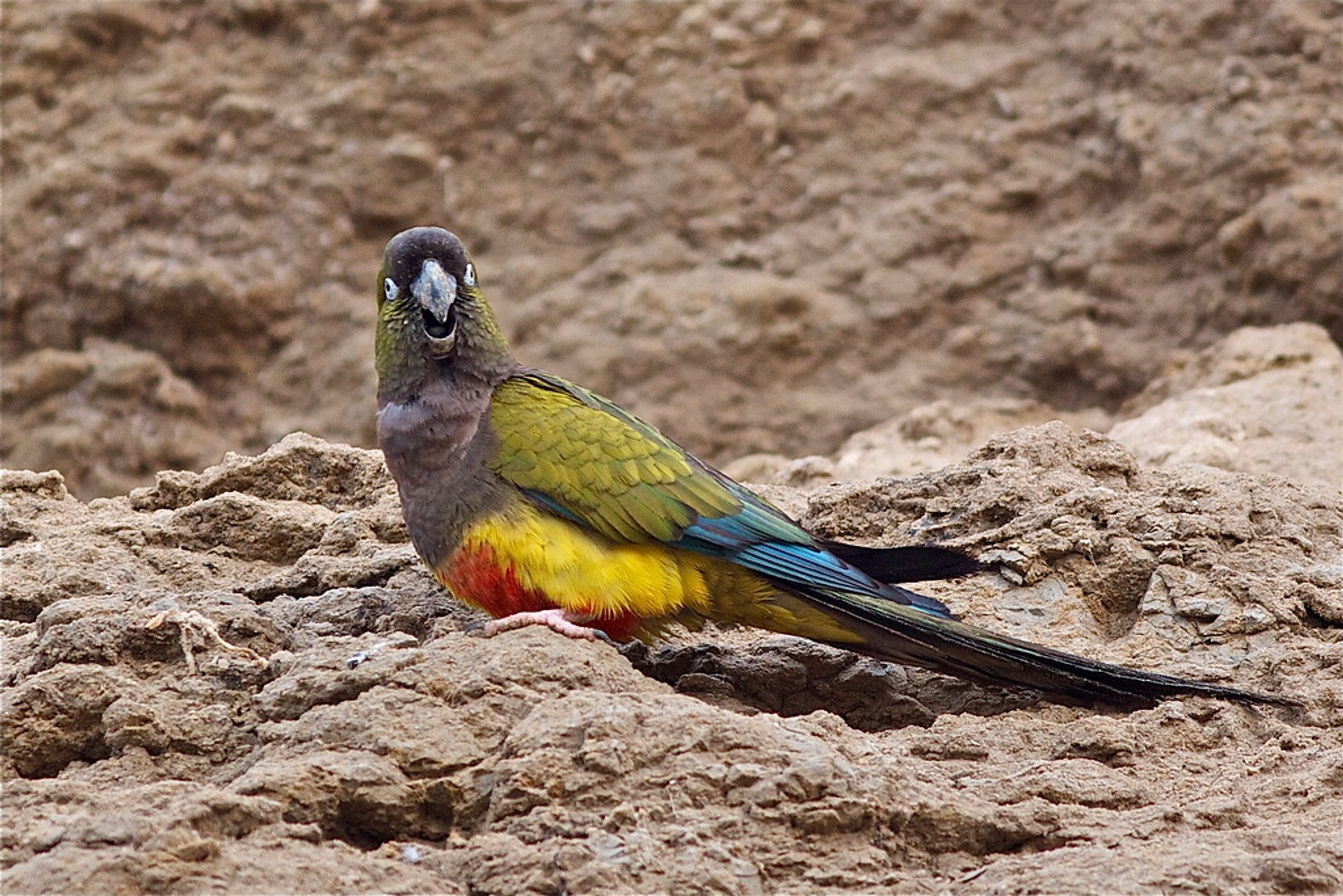 Burrowing Parrot Watching in Argentina - Best Season 2020