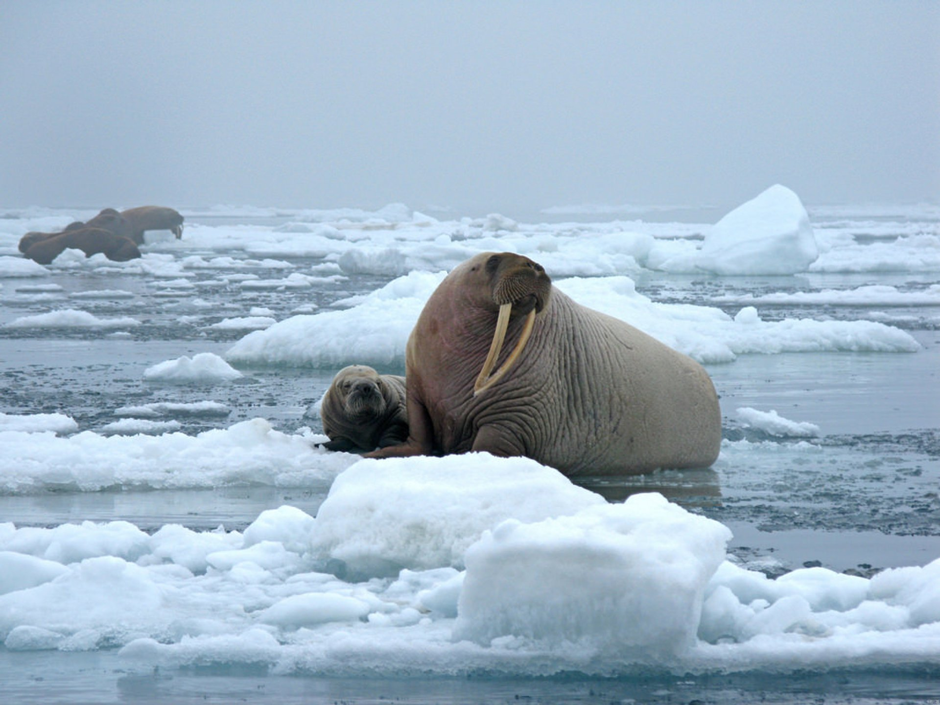 Walrus Watching in Alaska 2020 - Best Time