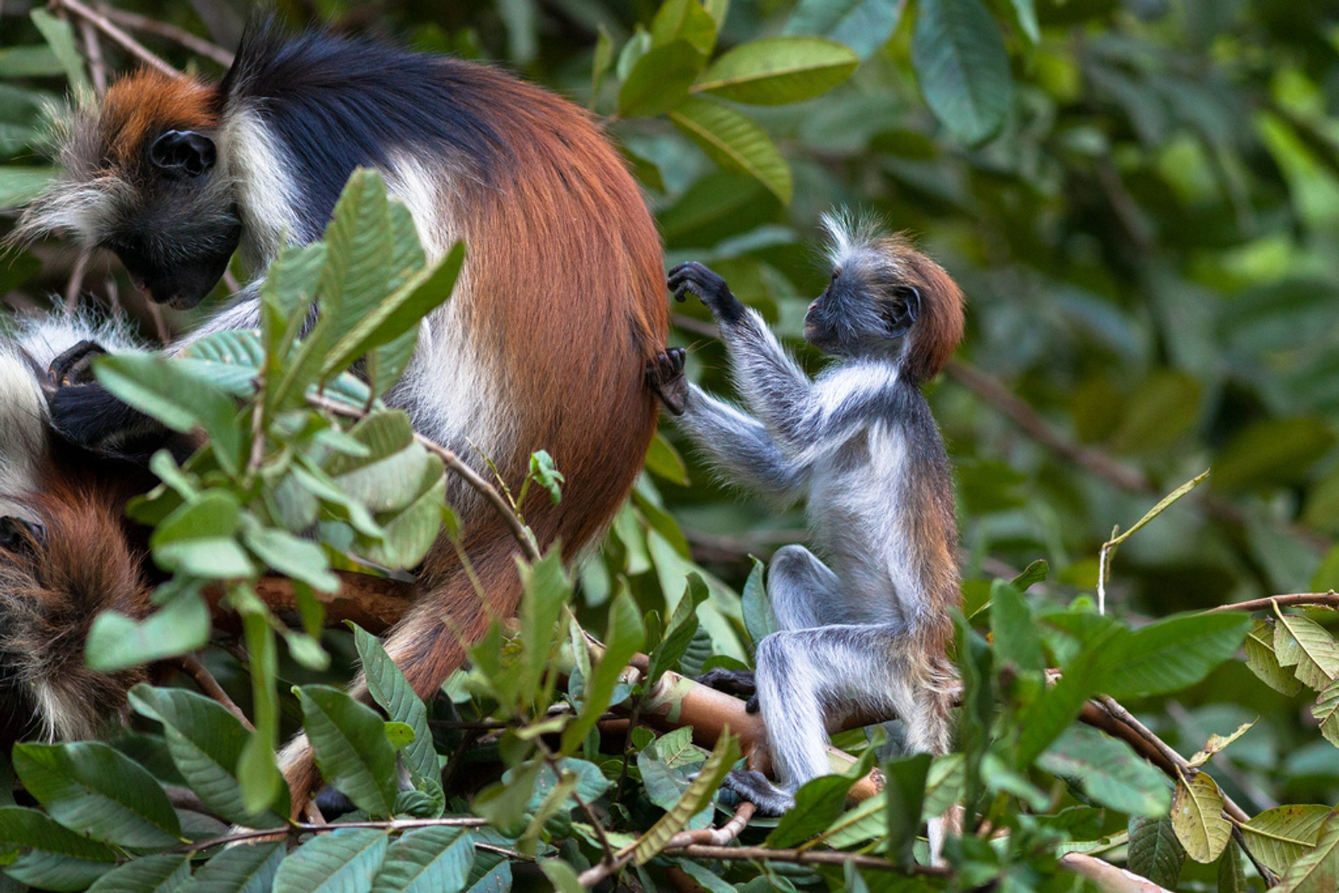 Best time for Baby Red Colobus Monkeys in Zanzibar 2020