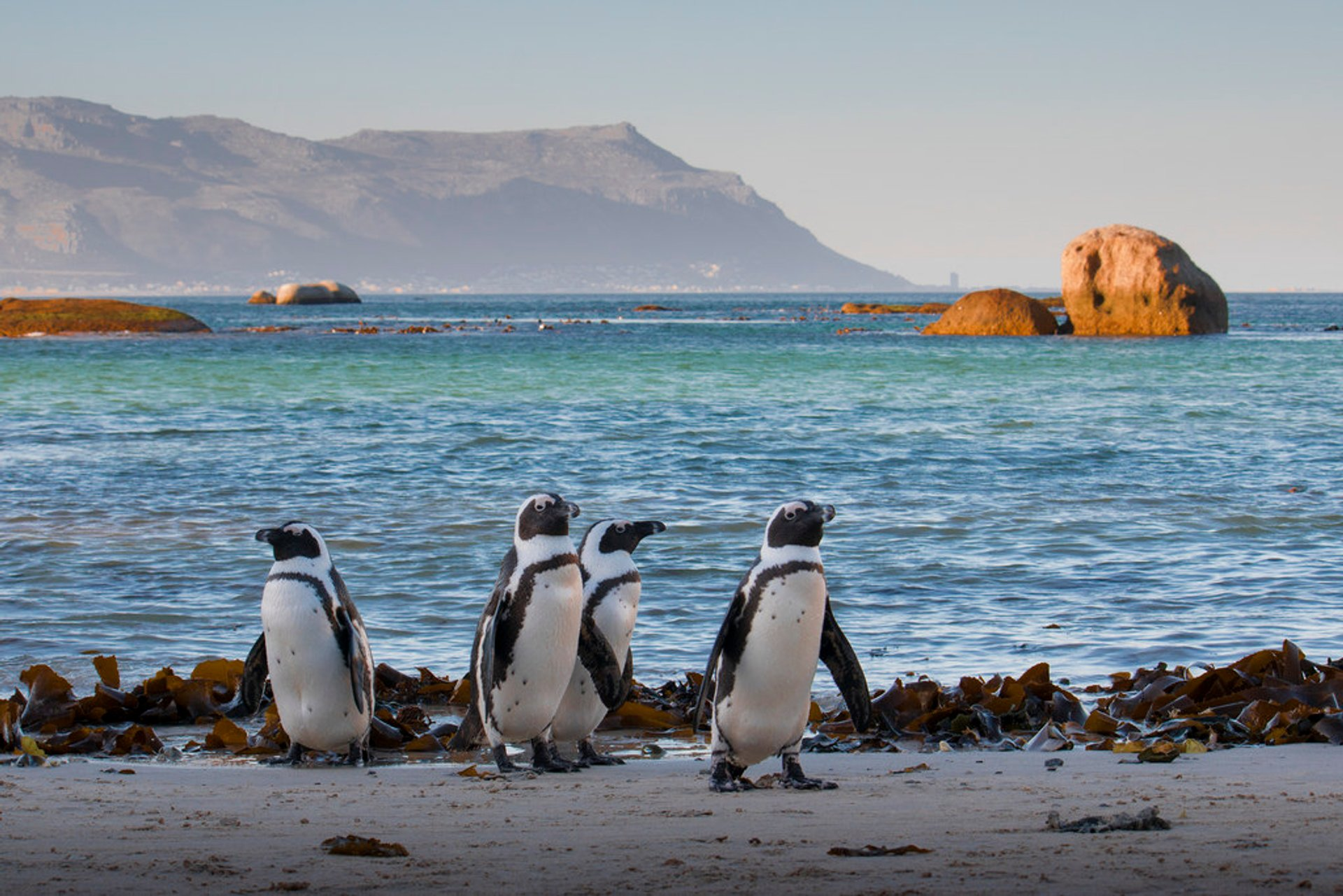 African penguins on the beach in Simonstown, Western Cape 2019