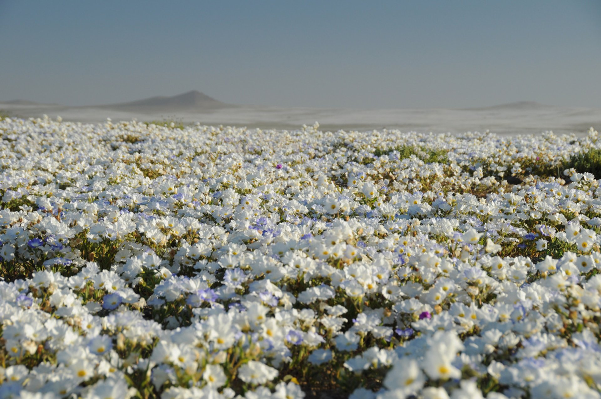Best time for Flowers in the Atacama Desert​ in Chile 2019