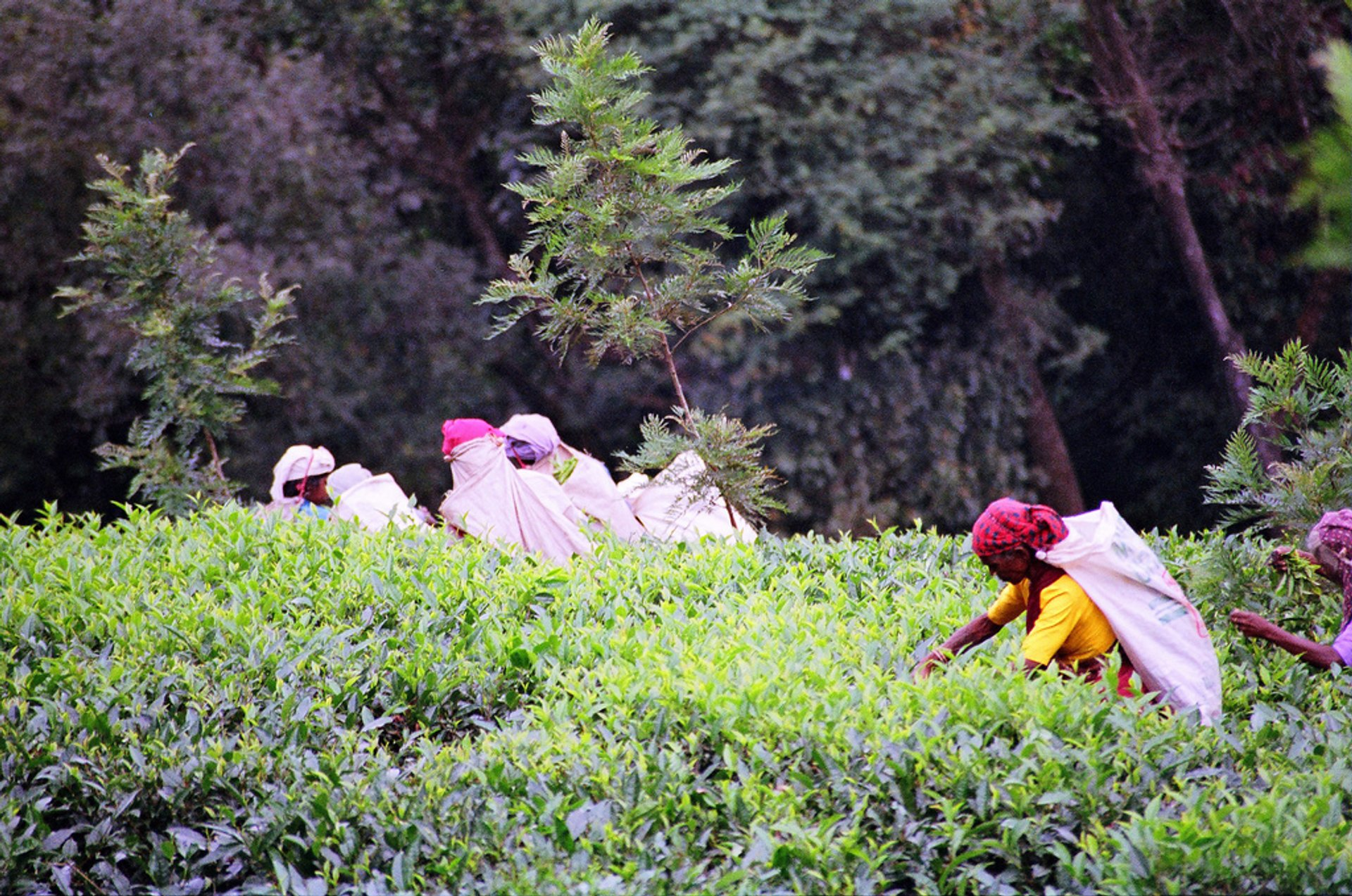 Best time for Uva Tea Harvest in Sri Lanka