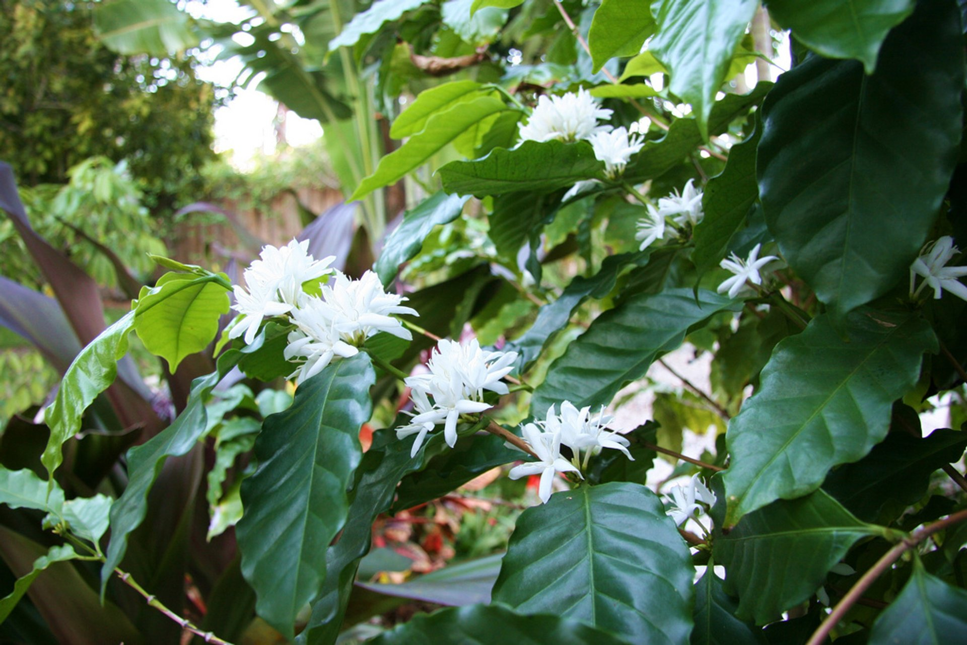 Best time for Kona Coffee Blossom or 'Kona Snow' in Hawaii 2019
