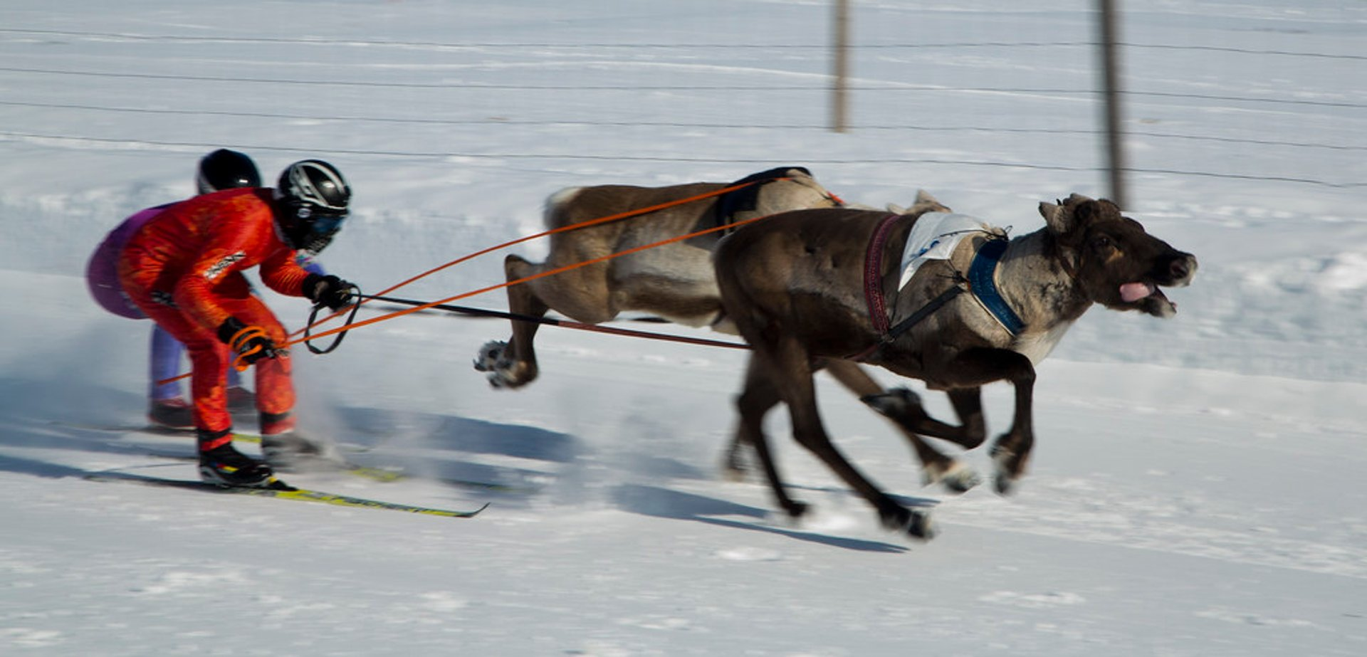 Reindeer skijoring race (deliberately blurred to give feeling of speed), Kautokeino 2020