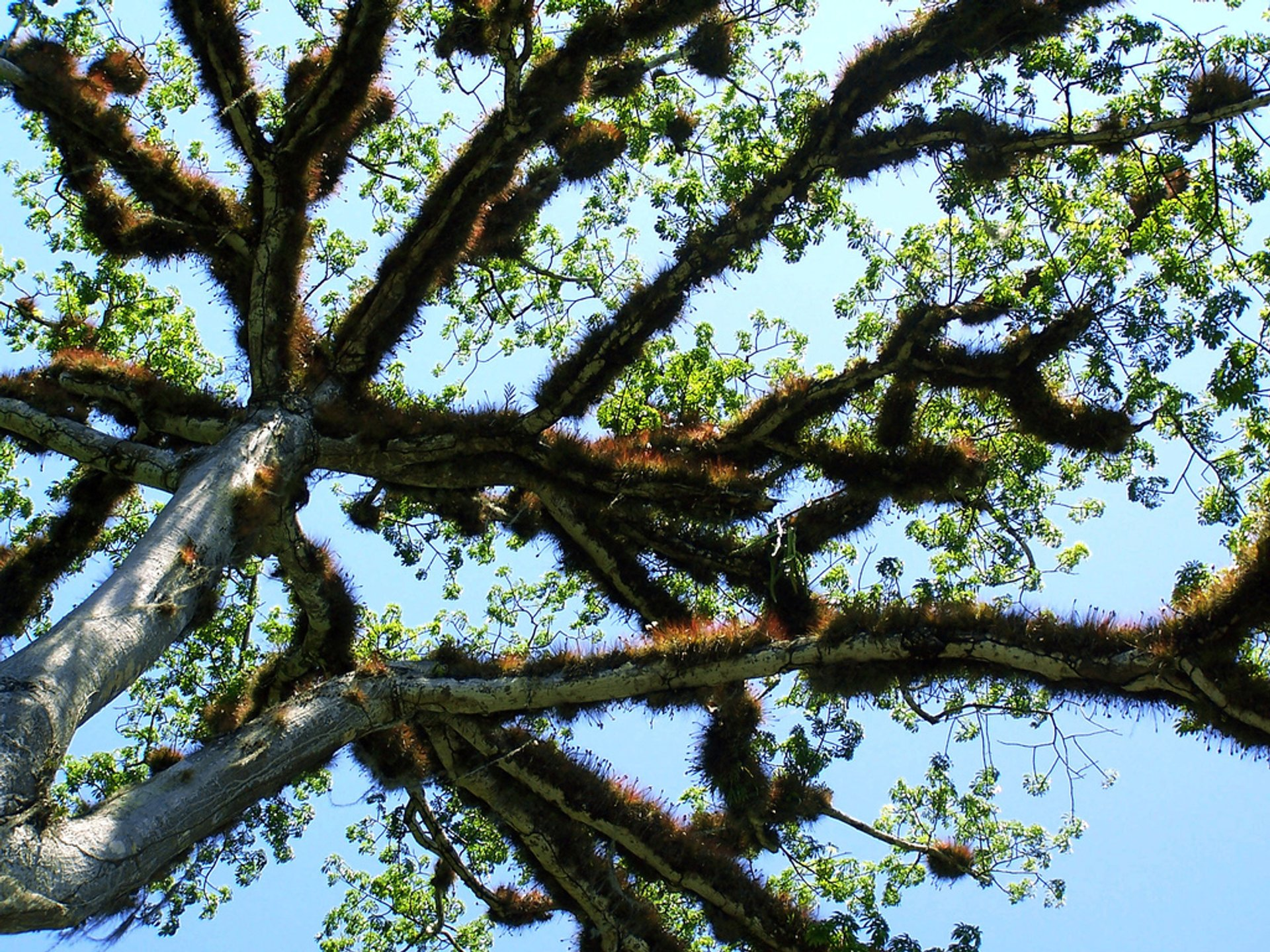 Best time for Ceiba Trees in Bloom in Guatemala 2020