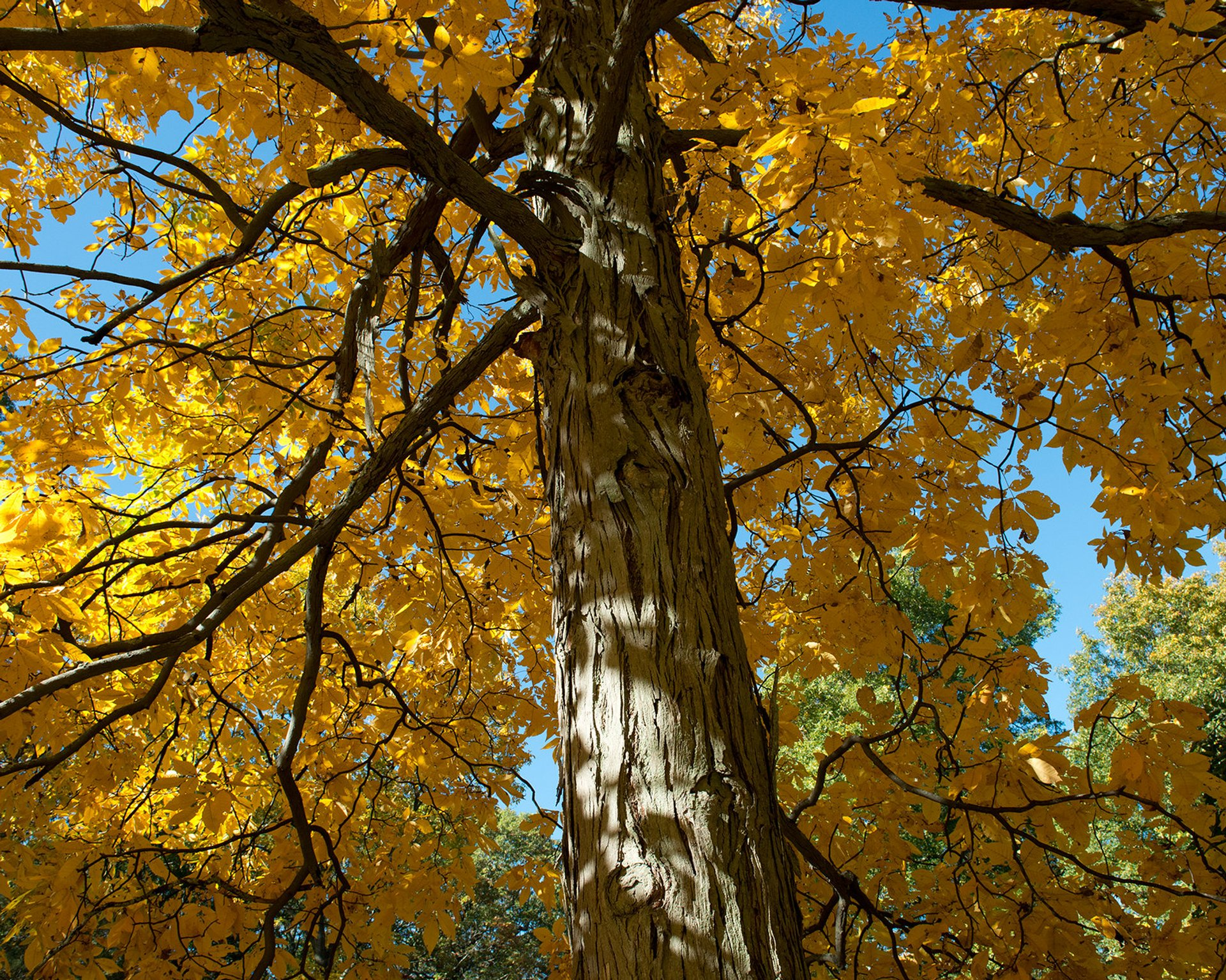 Carya ovata (Shagbark Hickory) in Arnold Arboretum 2020