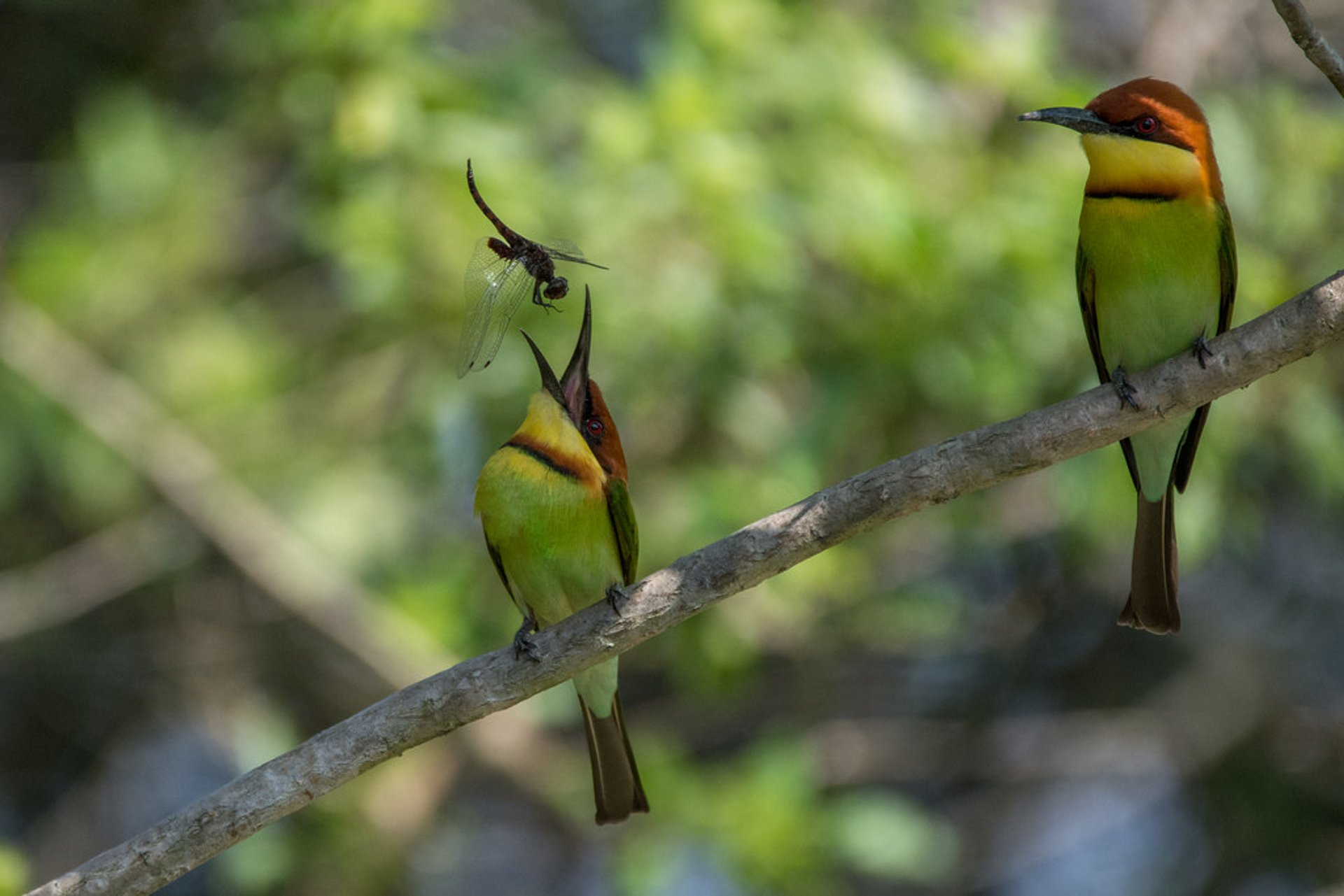 Chestnut headed bee-eater 2020