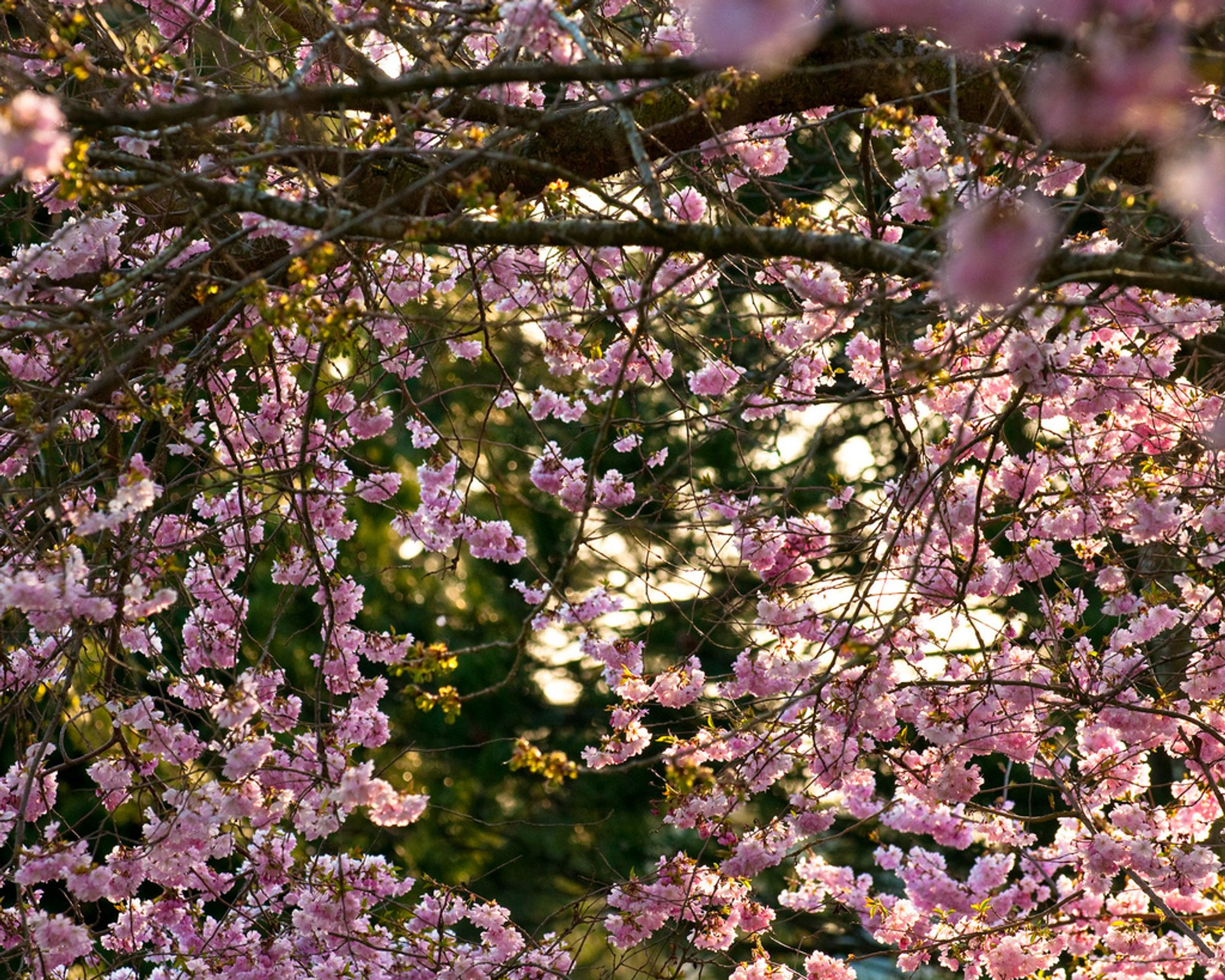 Blooming Season in Vancouver 2020 - Best Time