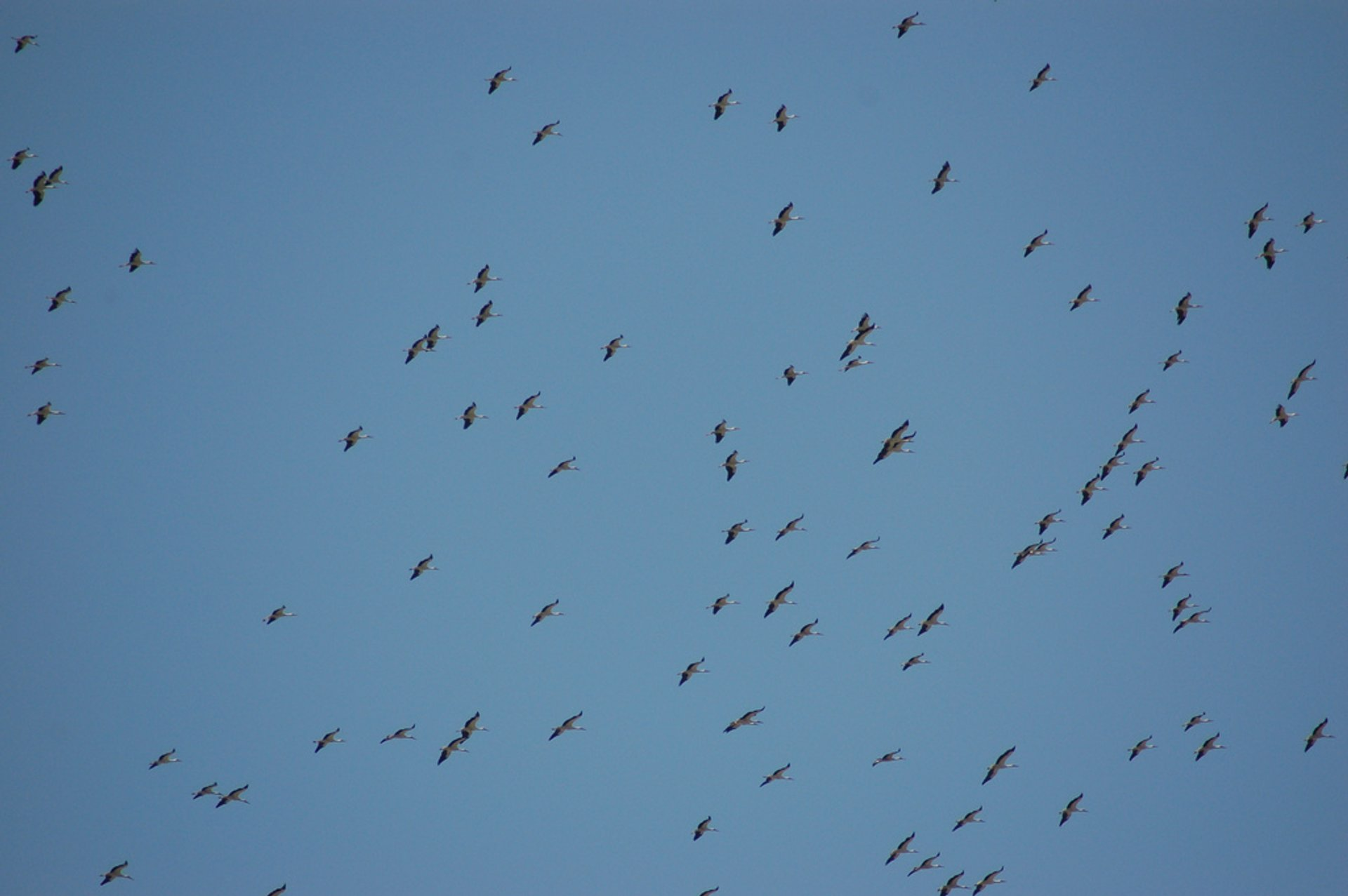 White Stork Migration in Israel 2019 - Best Time
