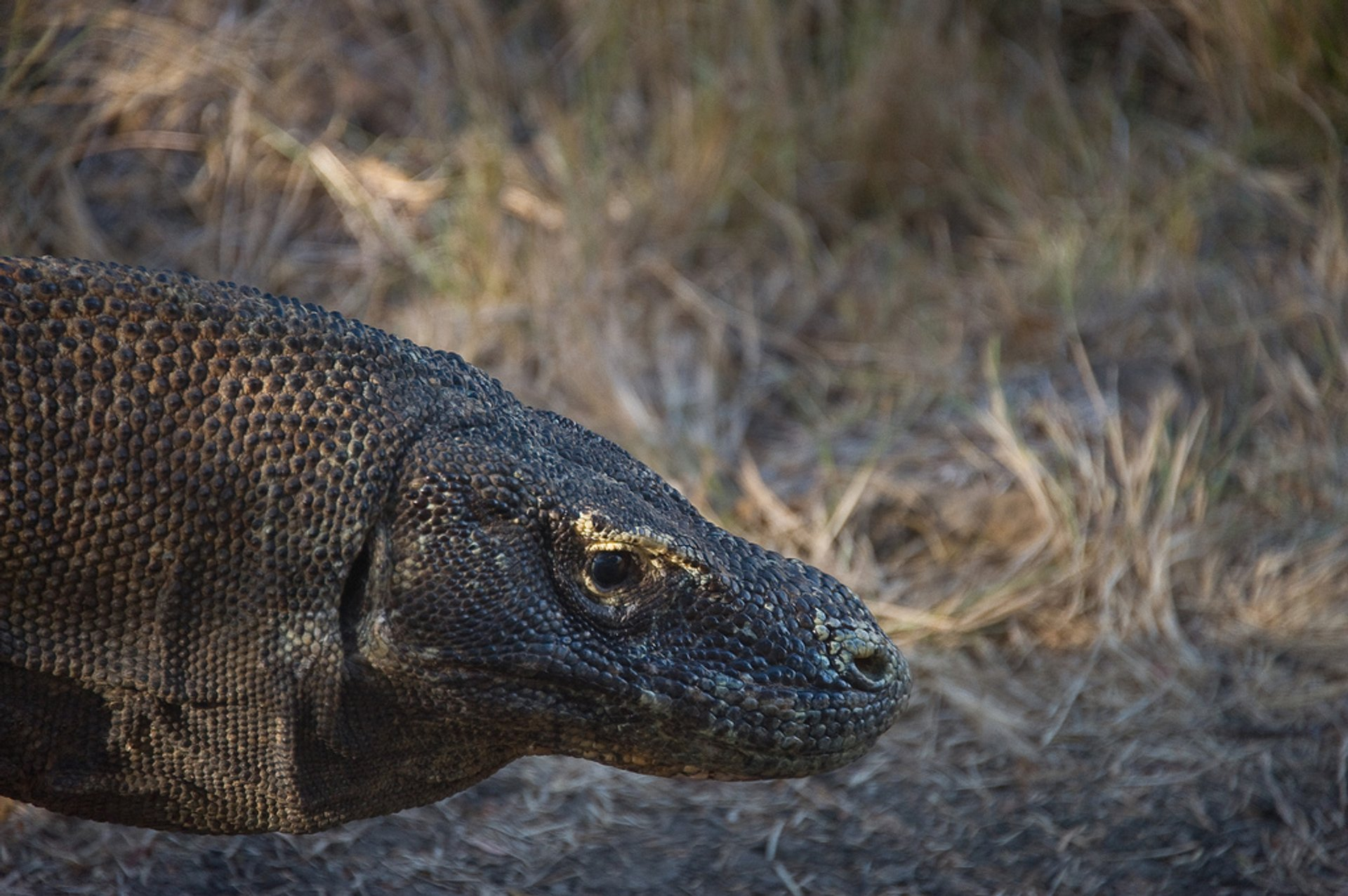 Komodo Dragons in Indonesia - Best Season 2020