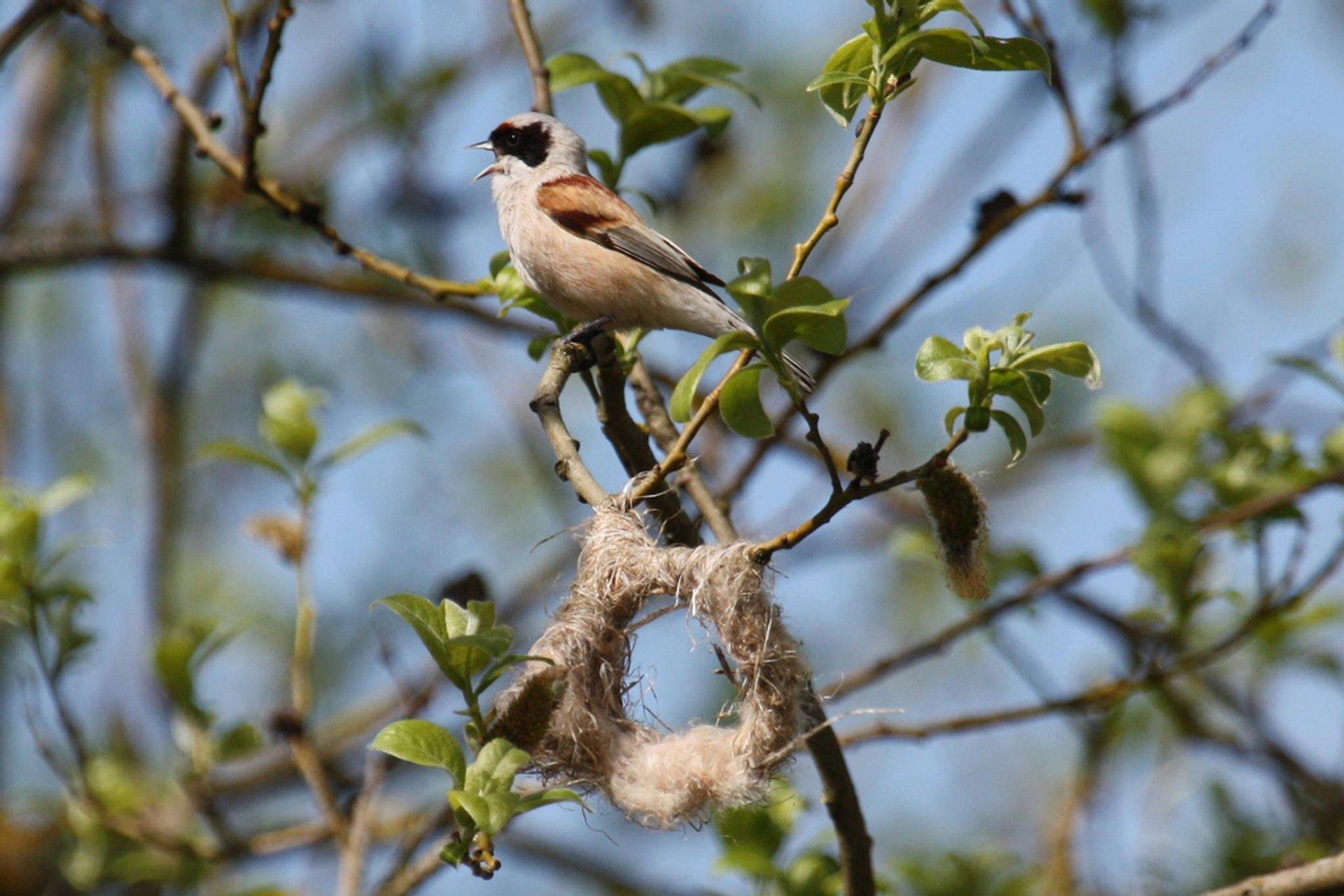 Penduline Tit nest building 2020