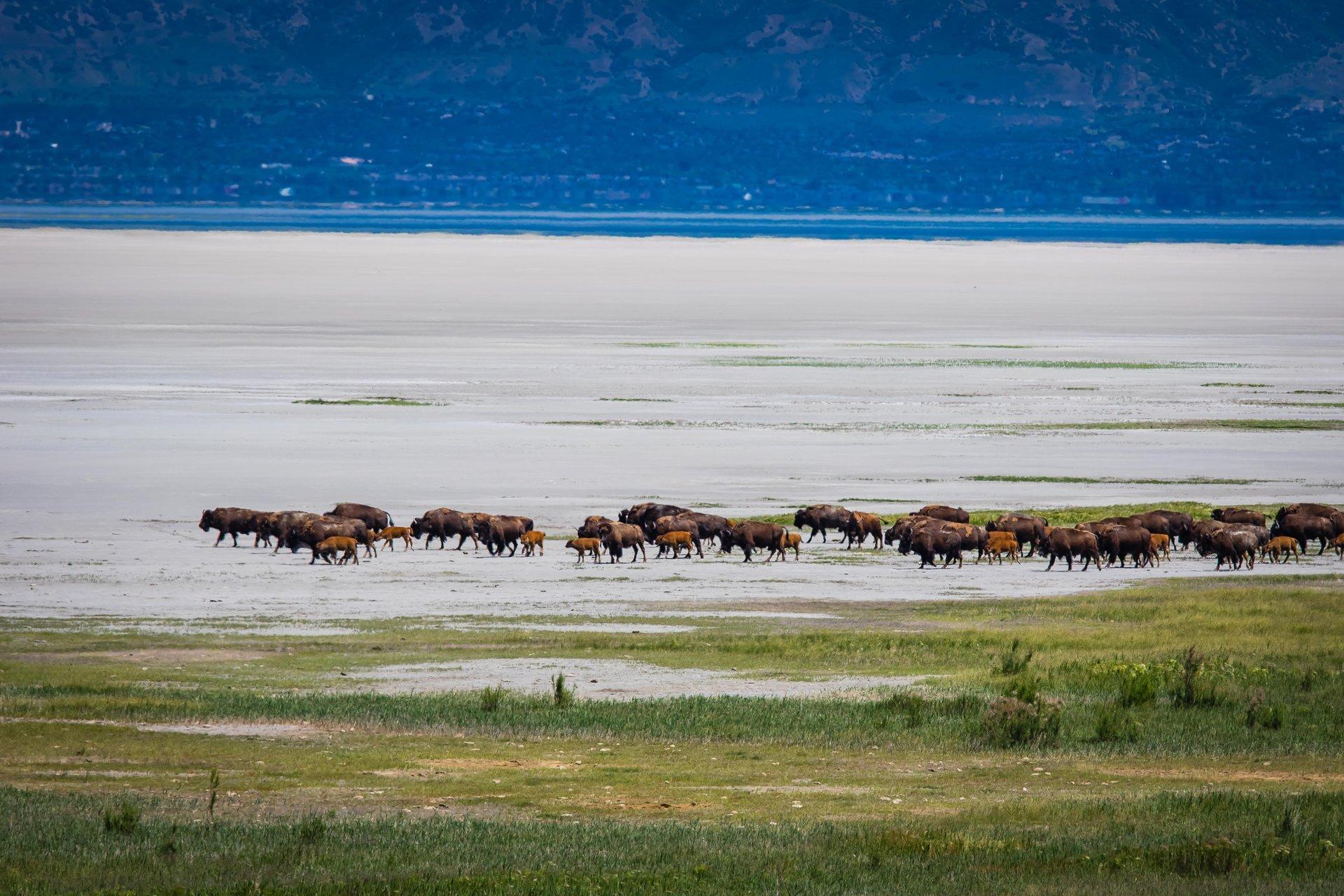 Bison Watching in Utah - Best Season 2020