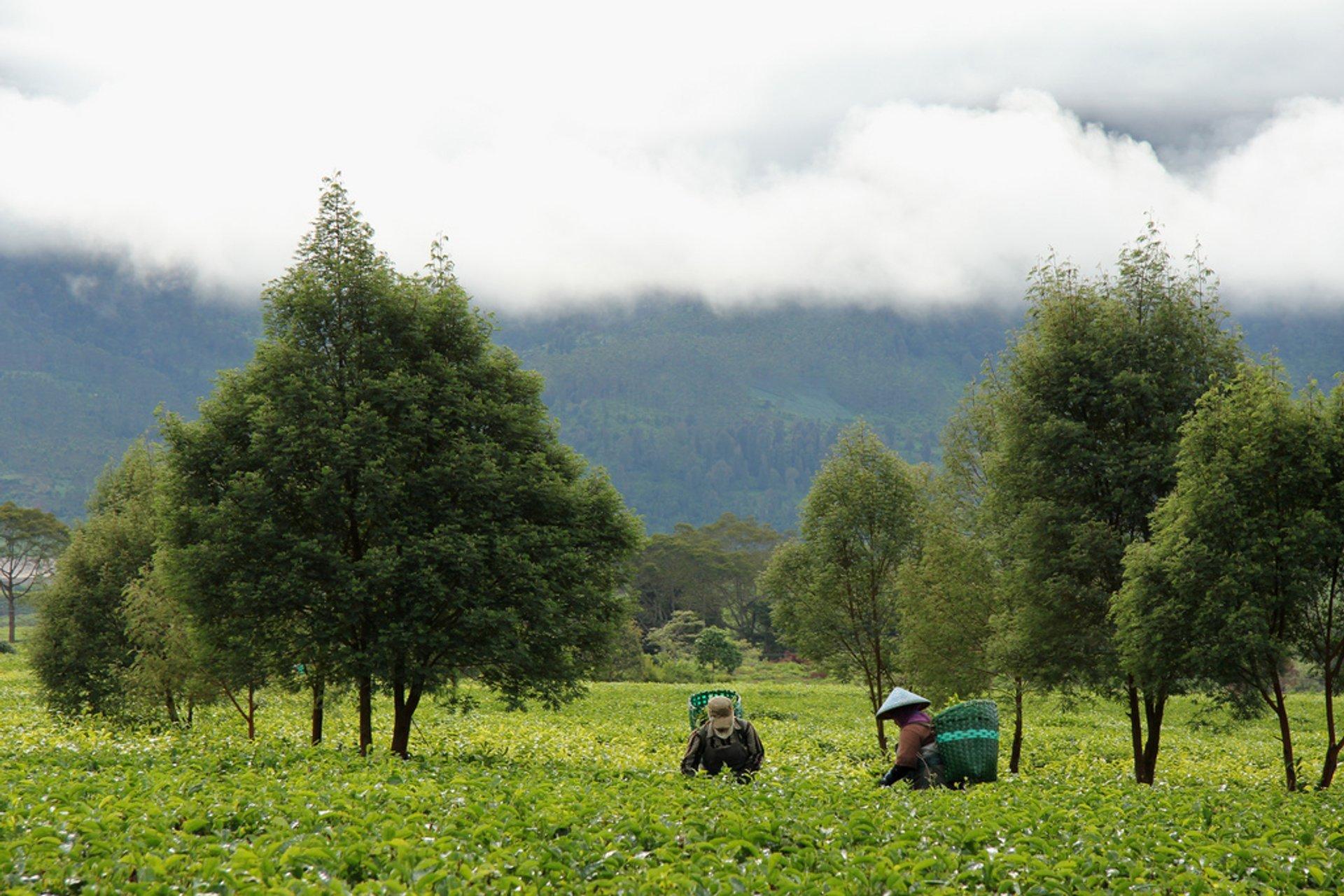 Malabar tea plantation 2020