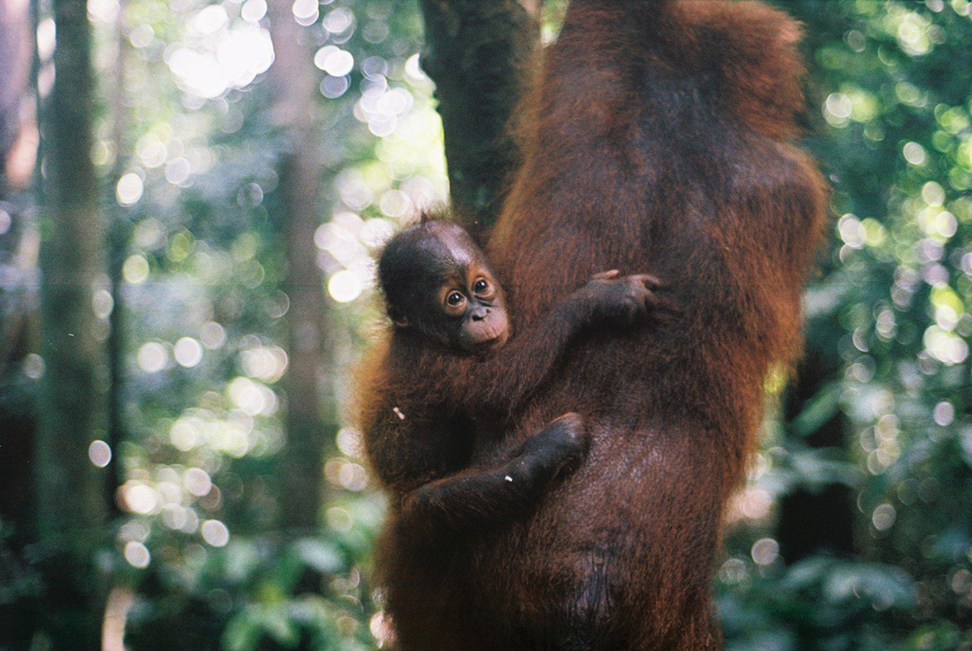 Watching Orangutans in Malaysia - Best Season 2020