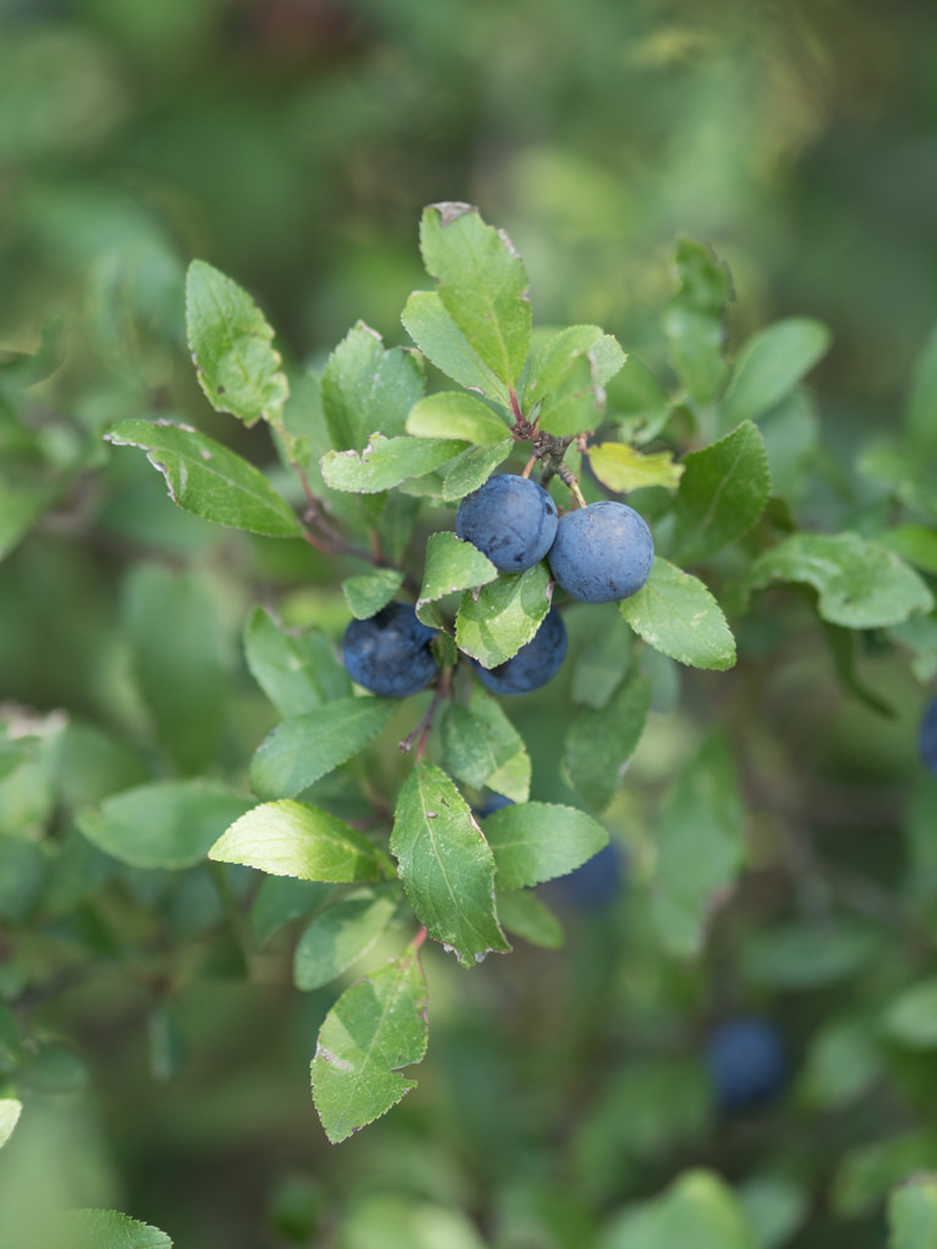 Blueberries on a walk near Clayton Hill, Nazeing 2019