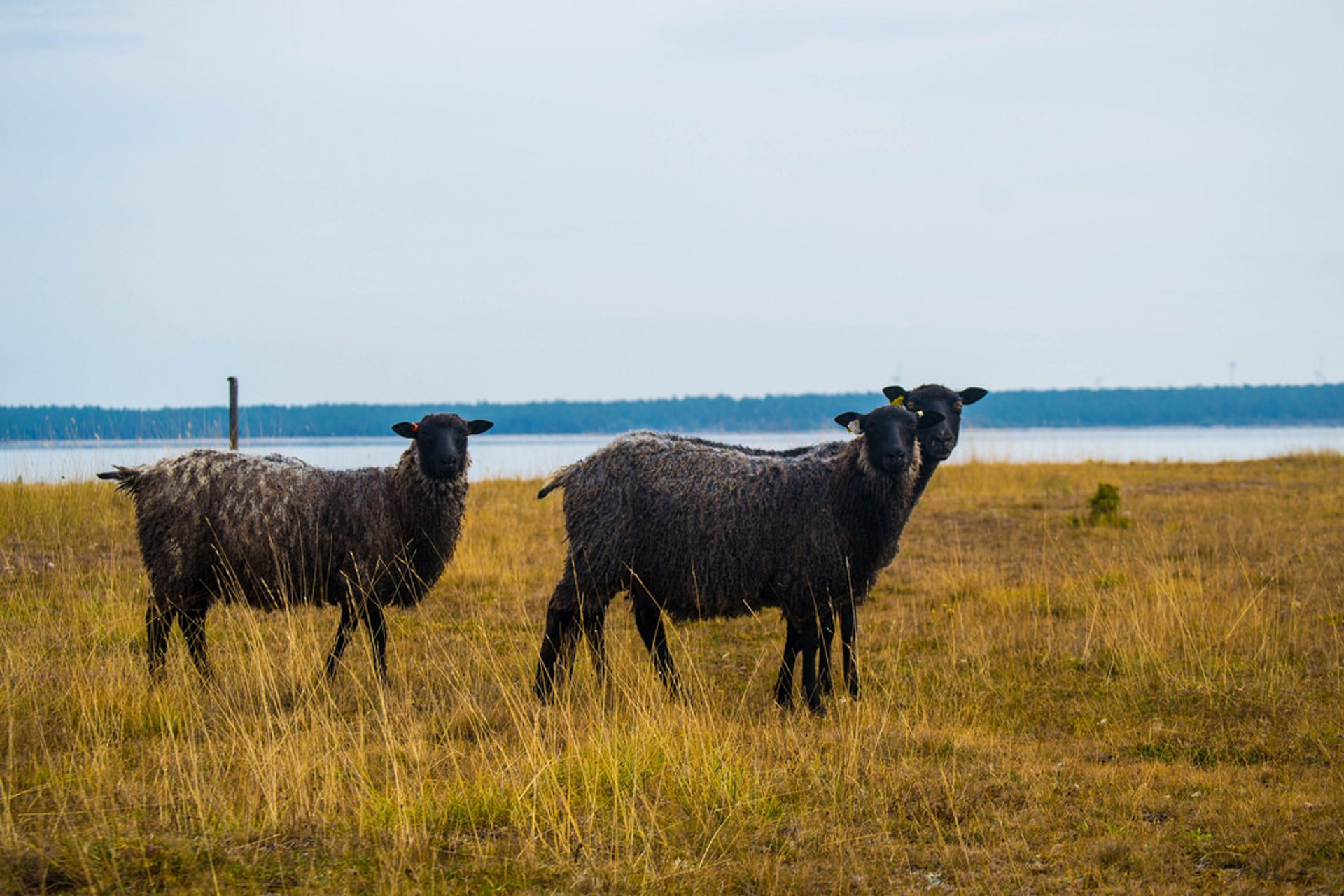 Gotland Pelt Sheep in Sweden 2020 - Best Time