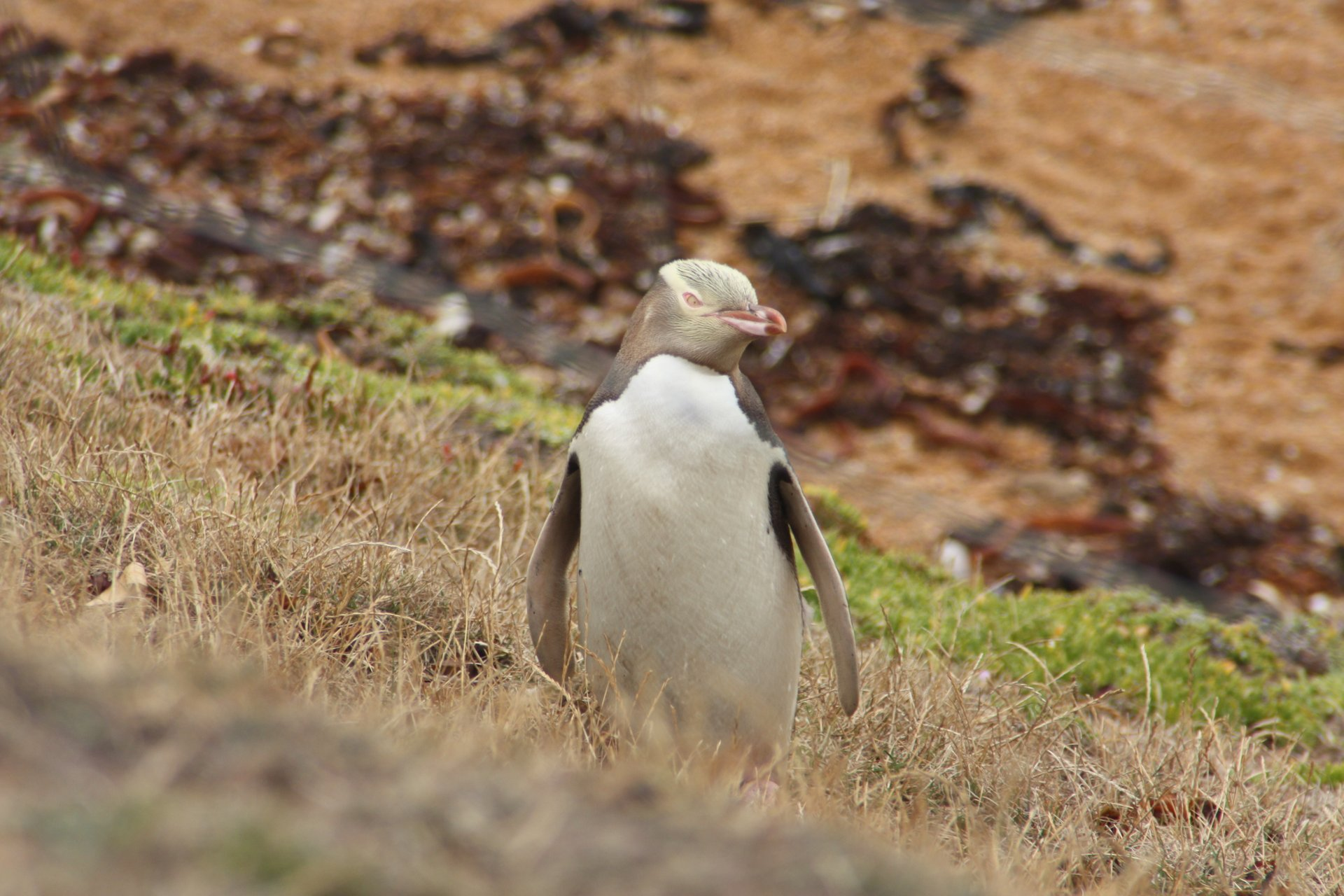 Hoiho–Yellow-Eyed Penguin in New Zealand - Best Time