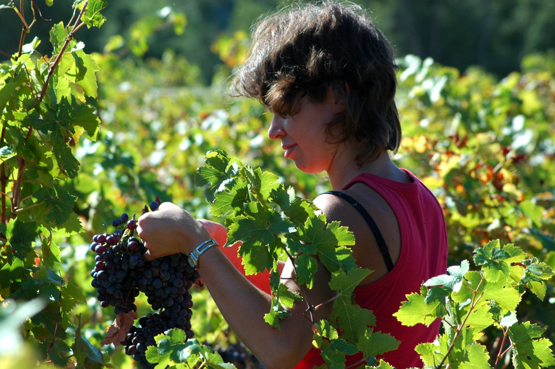Wine Grape Harvest in Provence & French Riviera - Best Season 2020