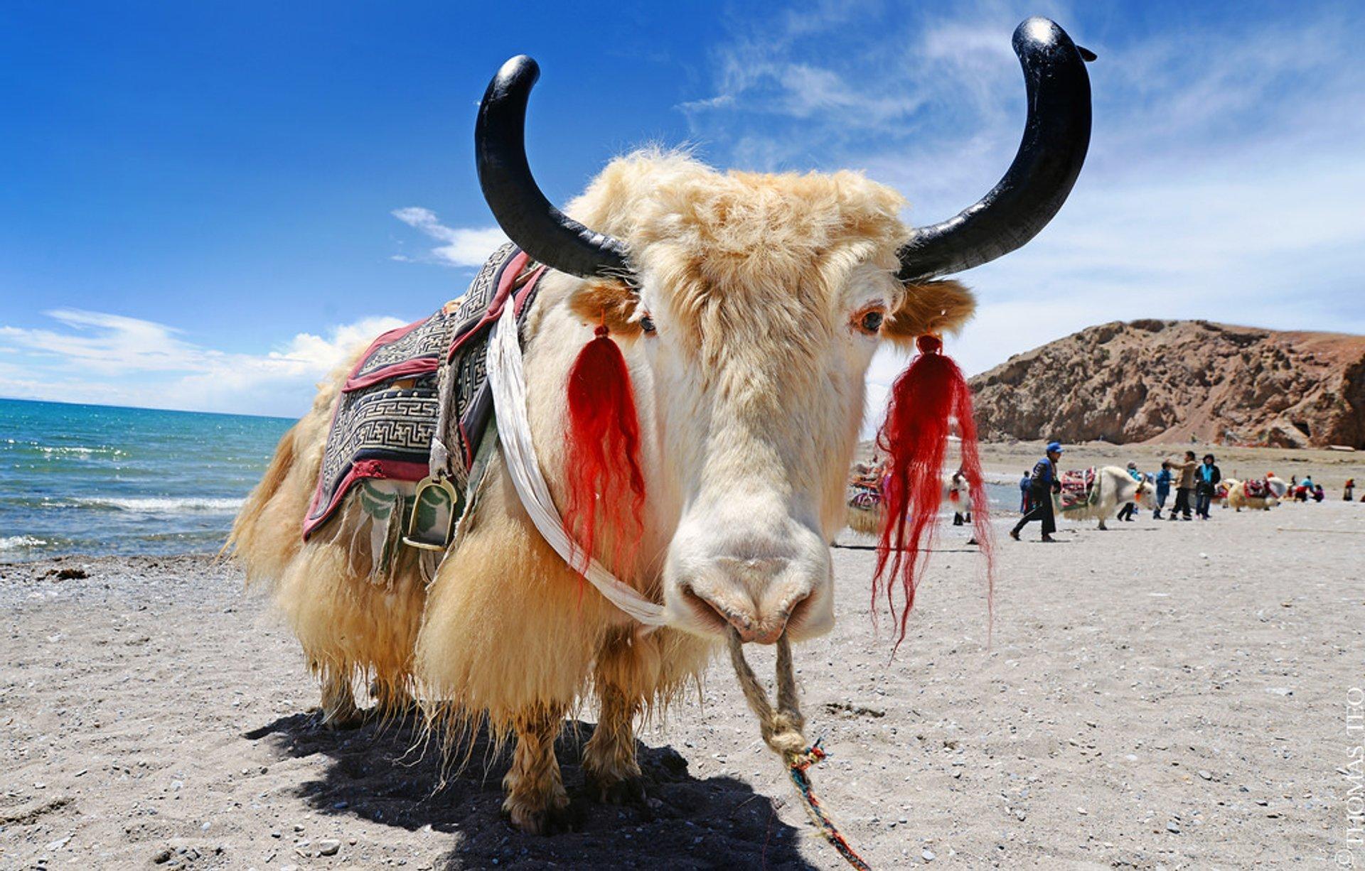 Yaks in Tibet 2020 - Best Time