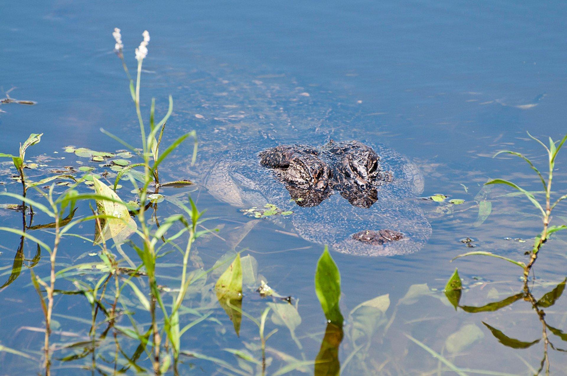 Alligator at Elm Lake 2020