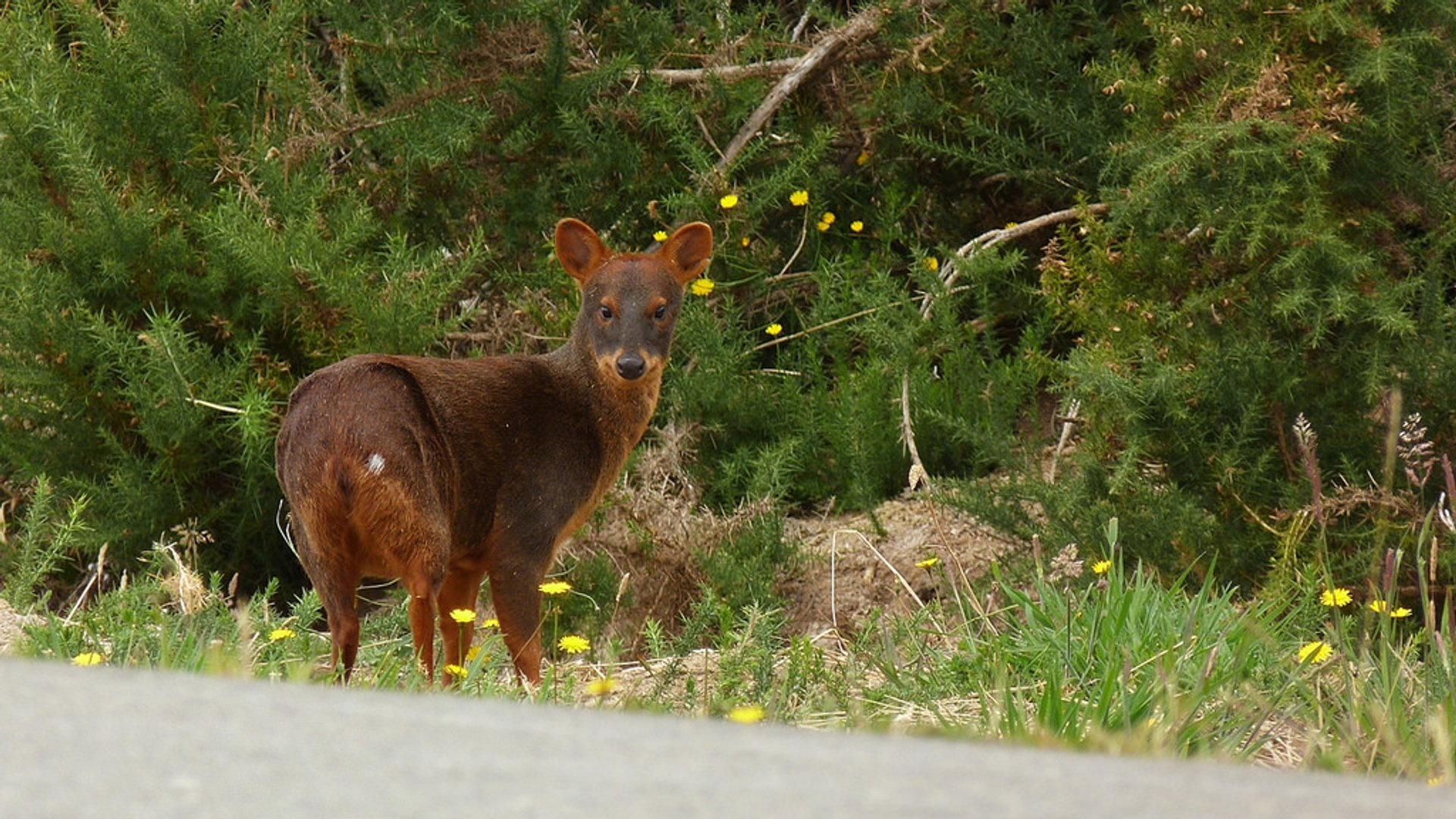 Pudu Deer in Chile - Best Season 2020