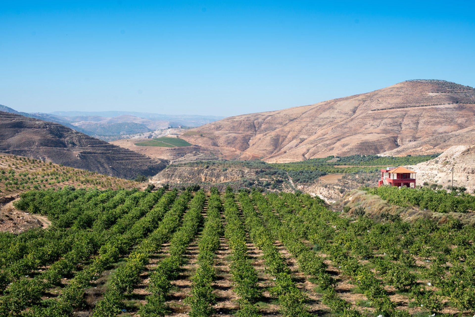 Best time for Olive Harvest in Jordan 2020