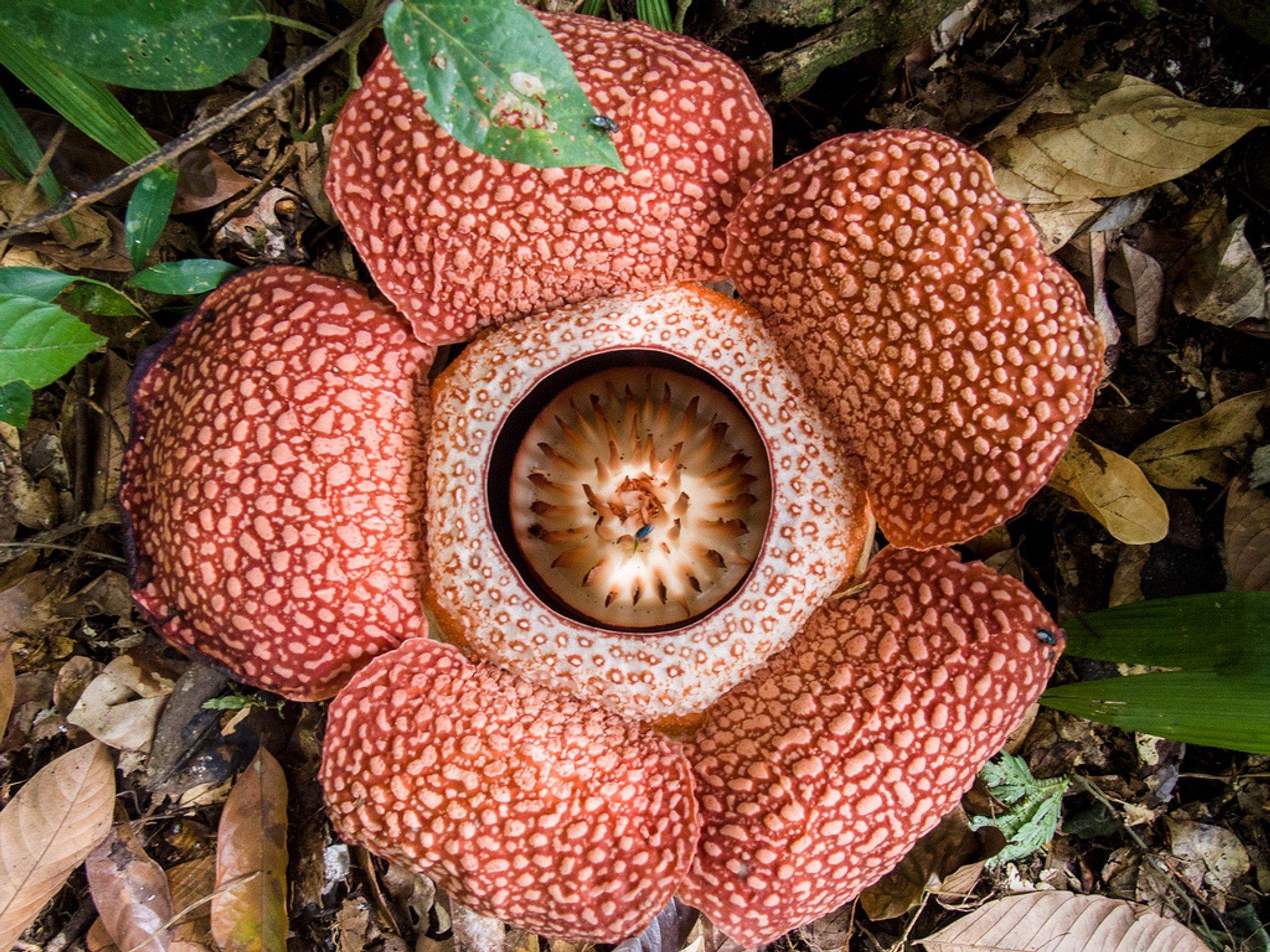 Rafflesia in Malaysia 2020 - Best Time