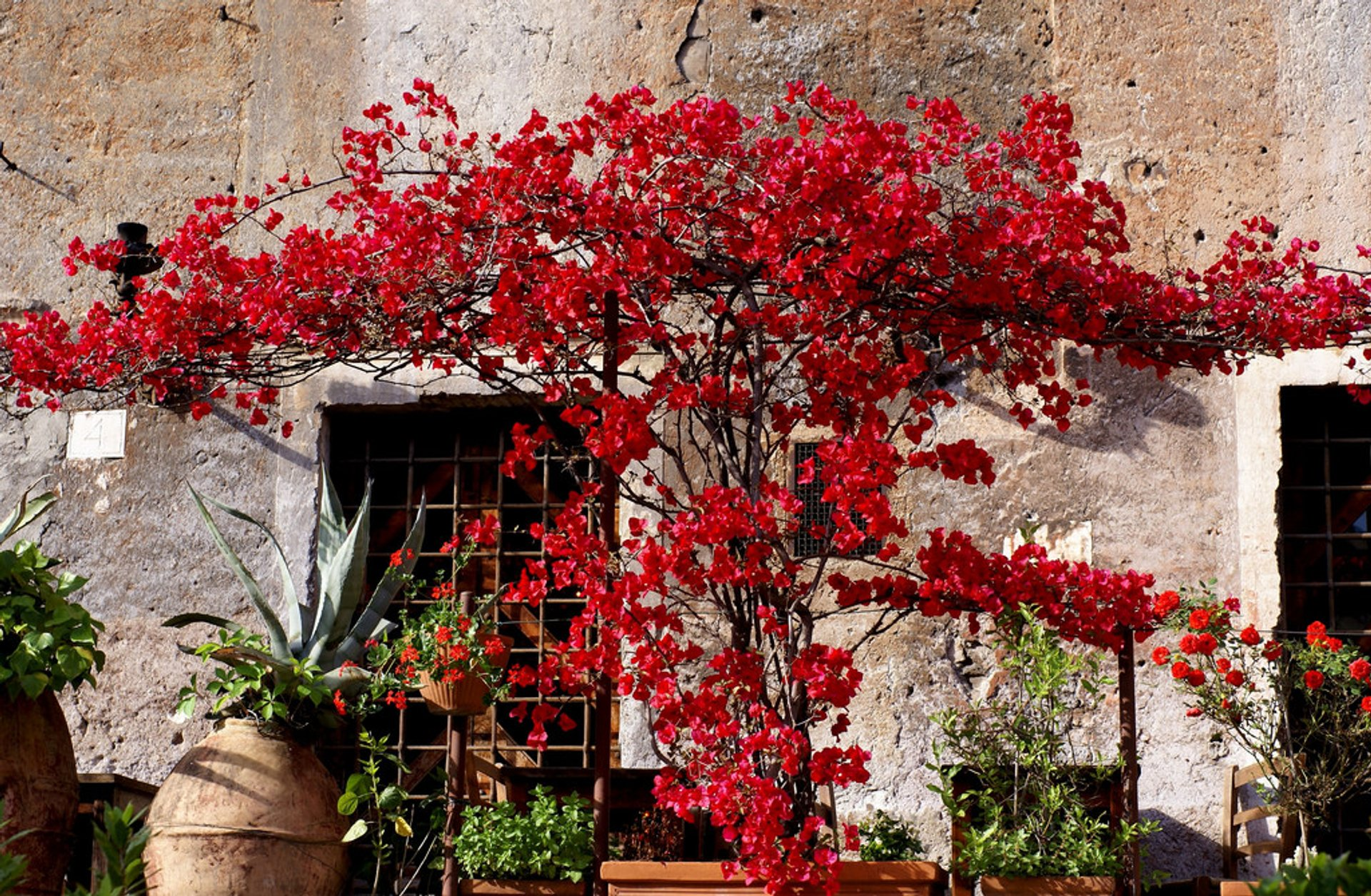 Best time to see Bougainvillea Bloom in Rome 2019