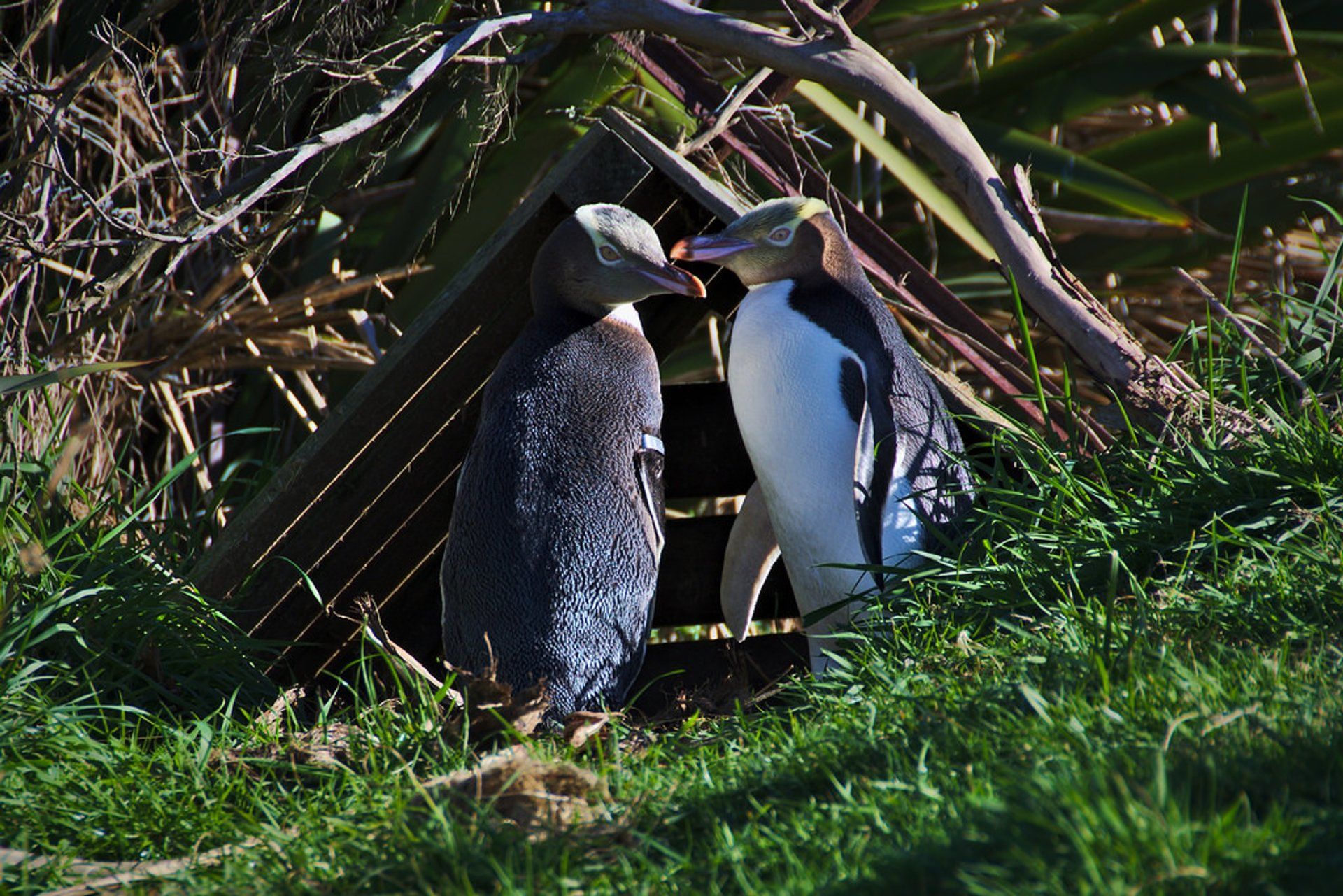 Best time for Hoiho–Yellow-Eyed Penguin in New Zealand 2020