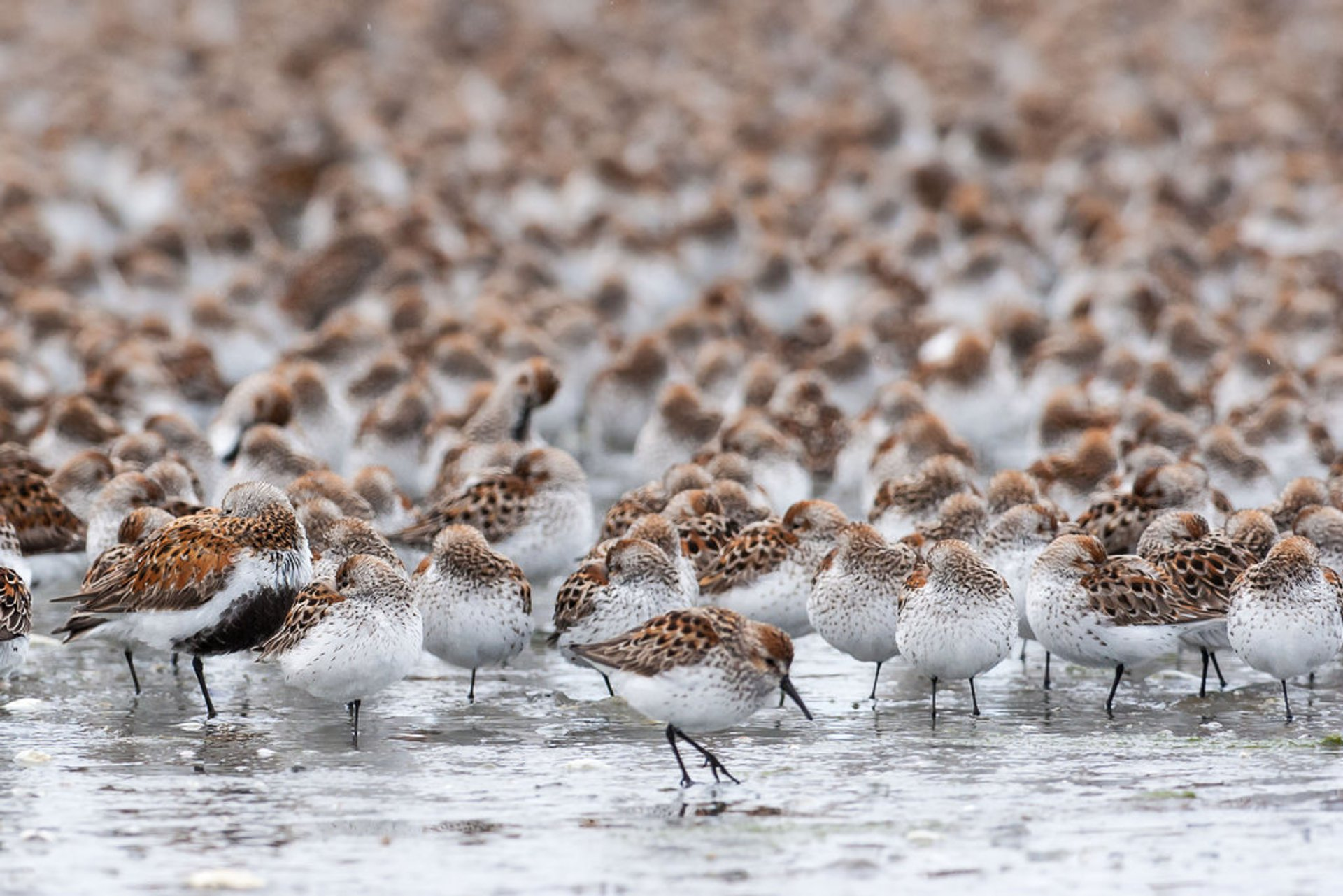 Bird Migration at Copper River Delta in Alaska 2020 - Best Time