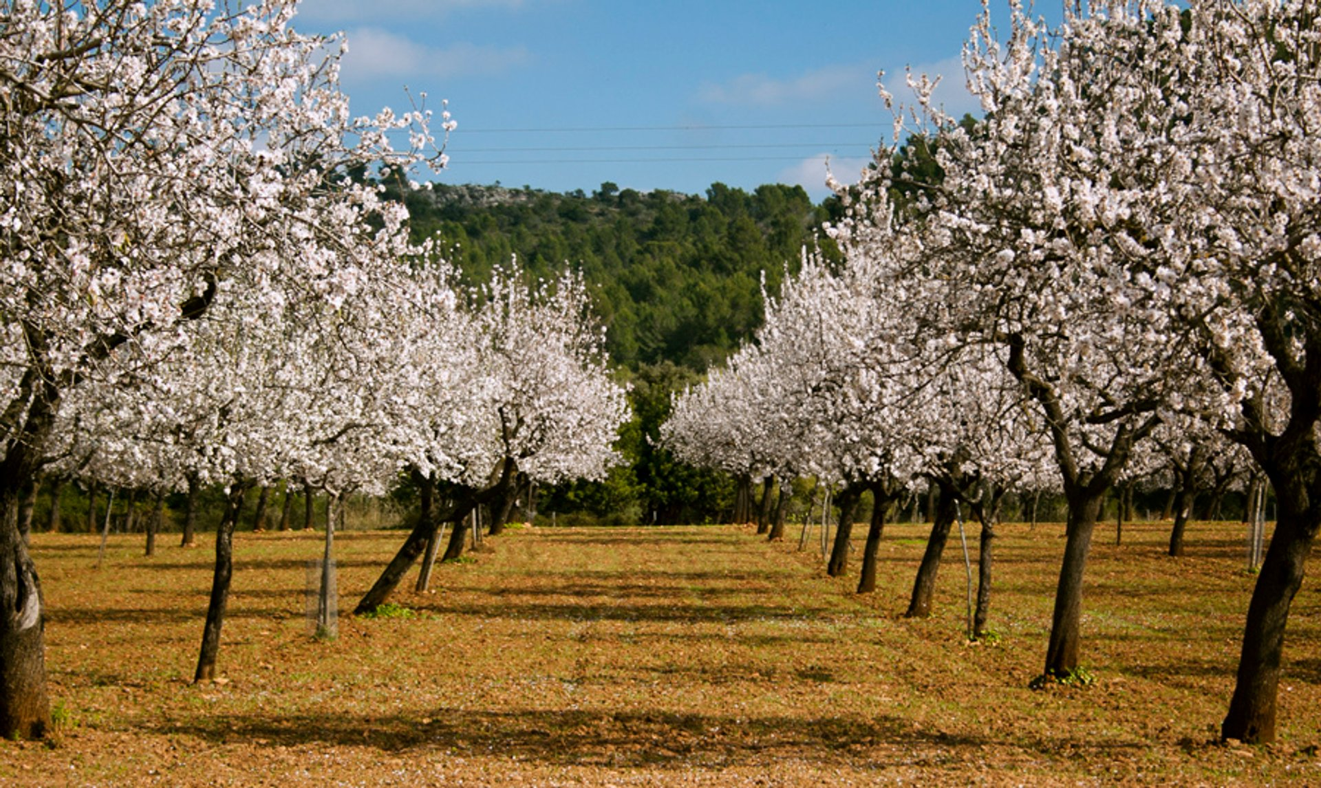 Best time to see Almond Trees Blossom in Mallorca 2020
