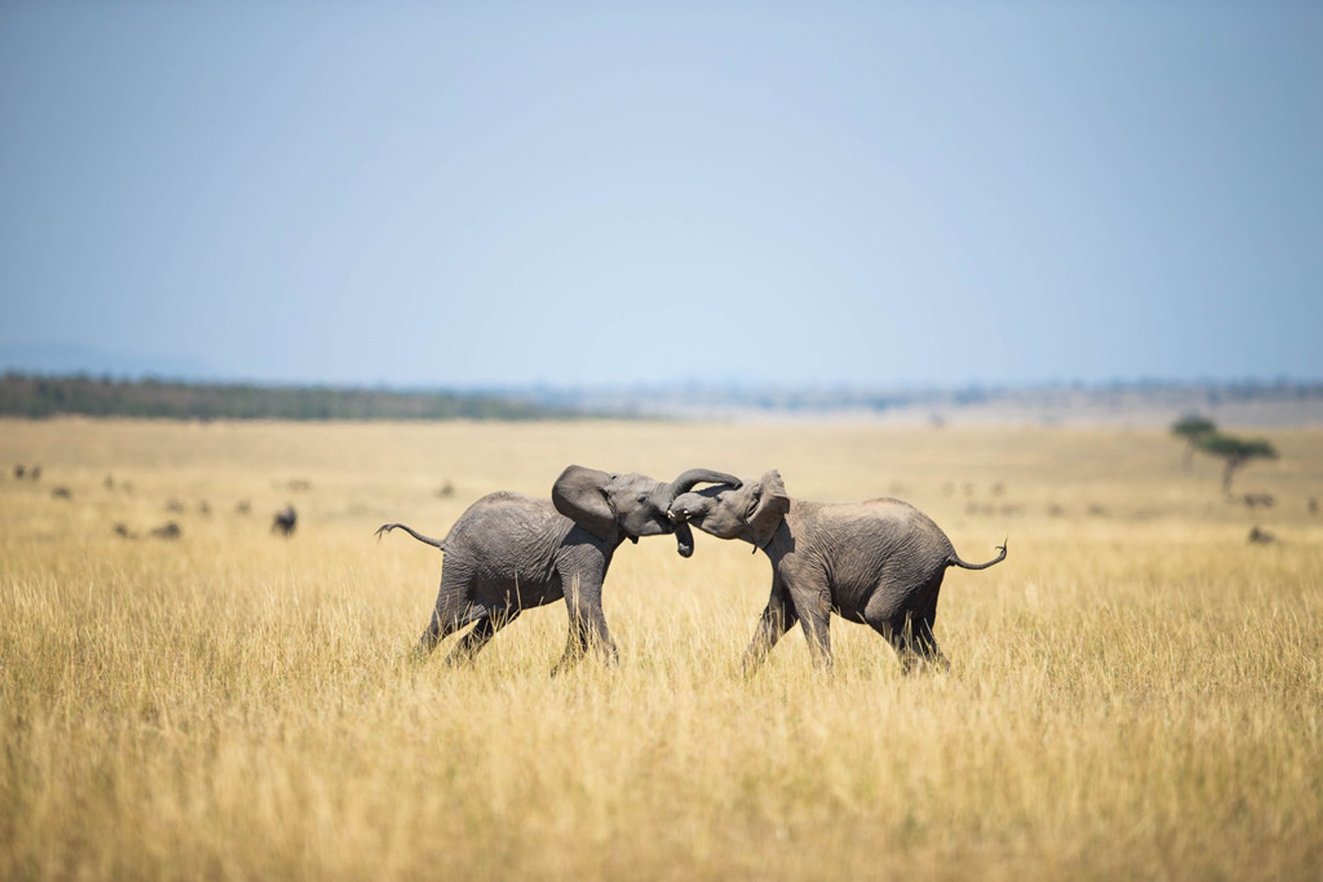 Two young elephants spar with each other on the savannah in the Mara Triangle, Masai Mara National Reserve, Kenya 2020
