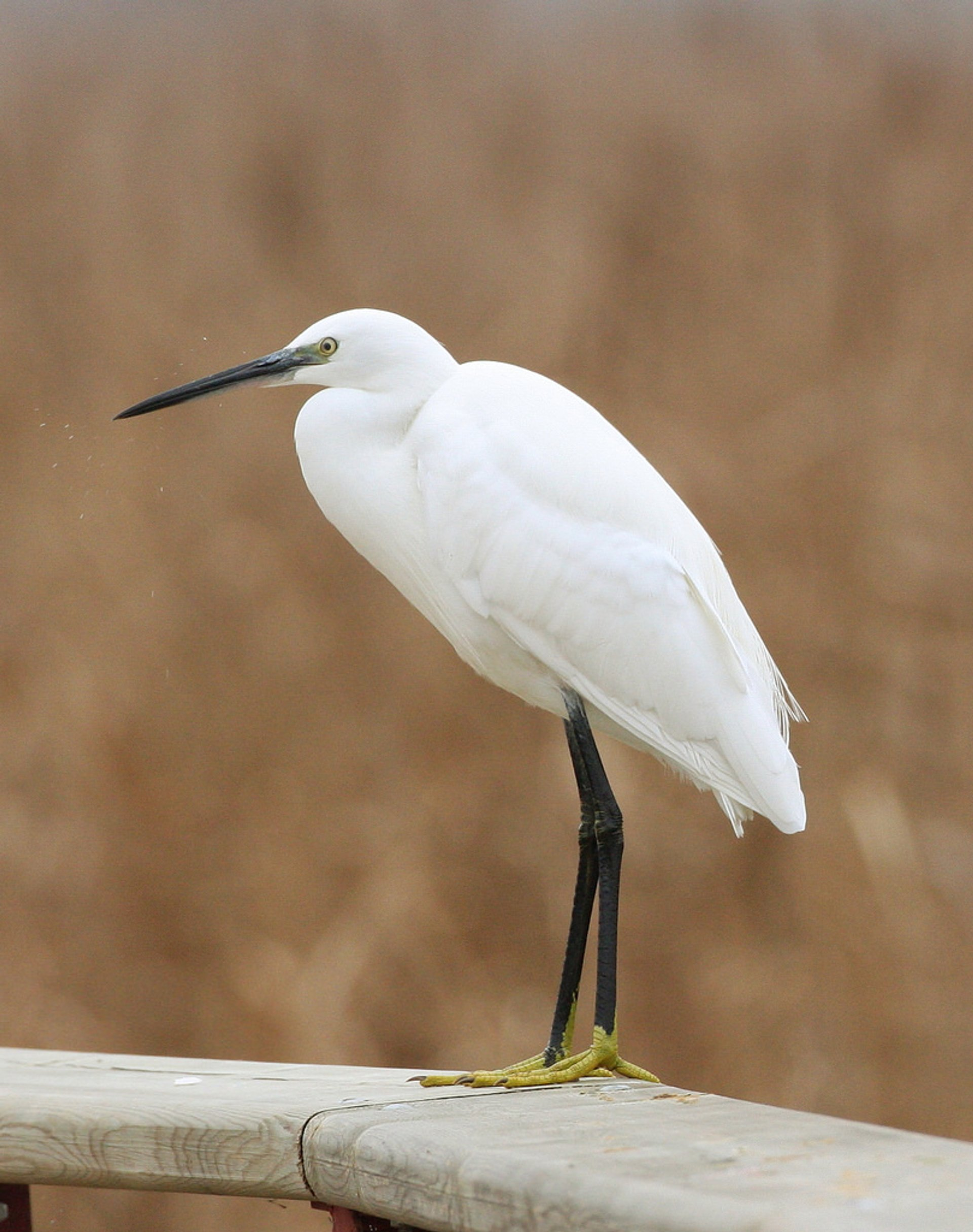 Little Egret in Tablas de Daimiel National Park, Ciudad Real 2020