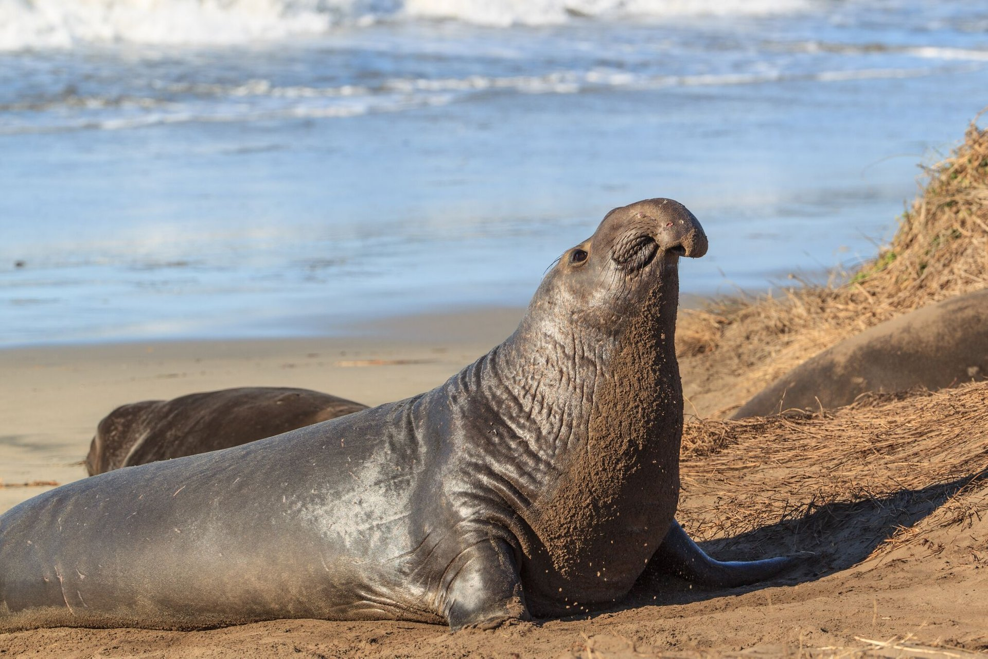 Best time for Elephant Seals in California 2019
