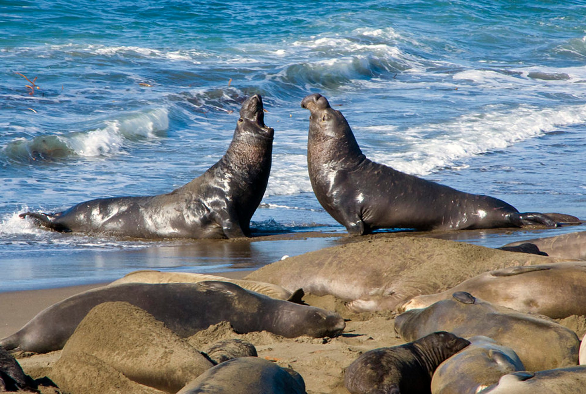 Elephant Seals Having a Discussion 2020