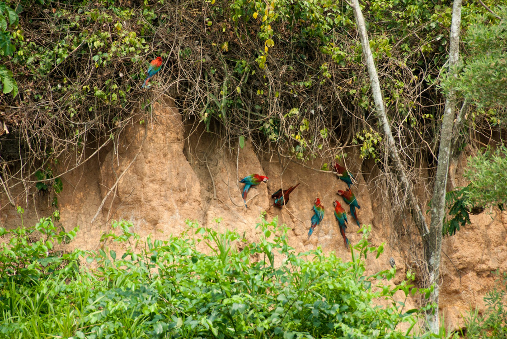 Best time for Macaw Clay Lick in Machu Picchu and Cusco 2020