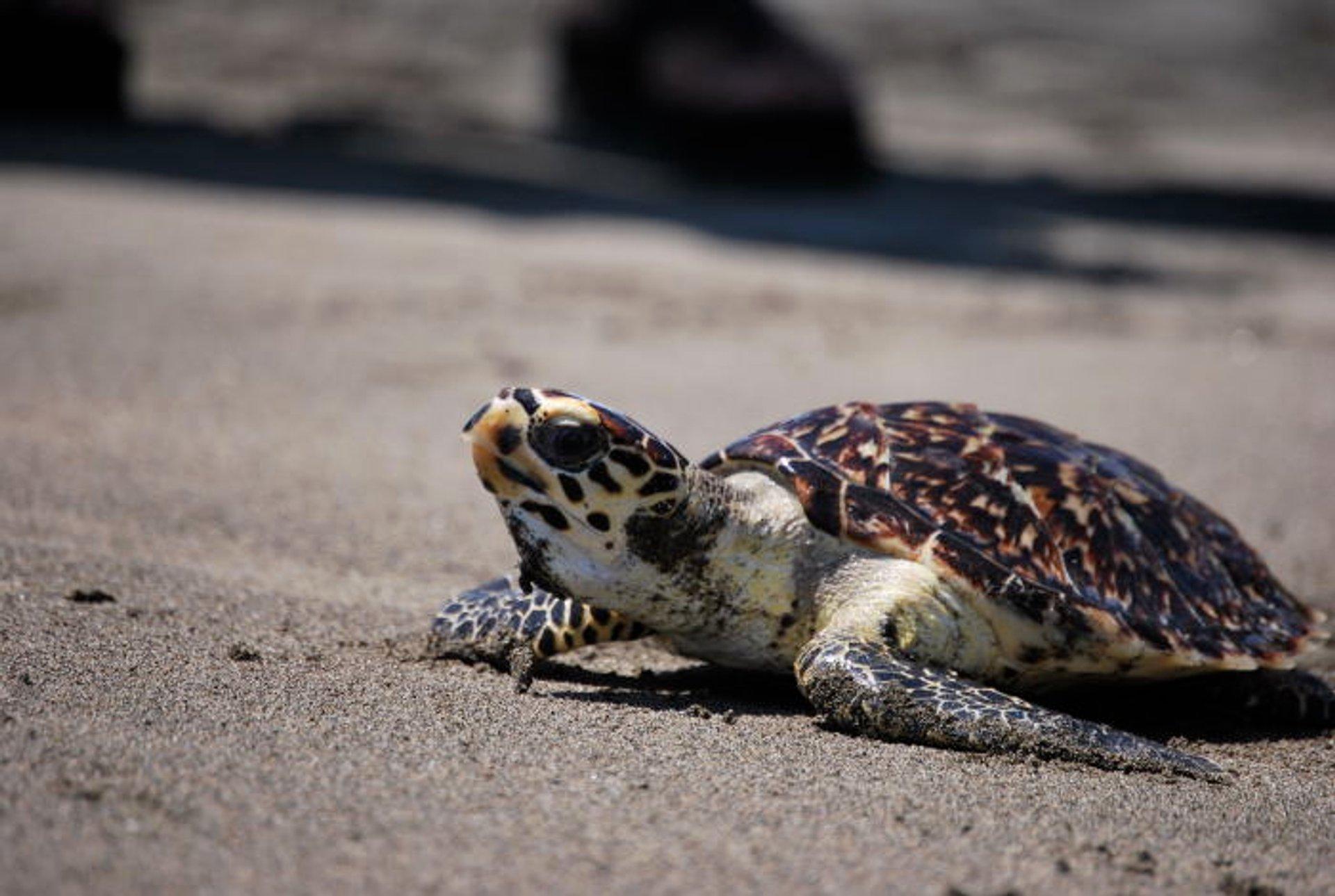 Hawksbill Turtles in Costa Rica 2019 - Best Time