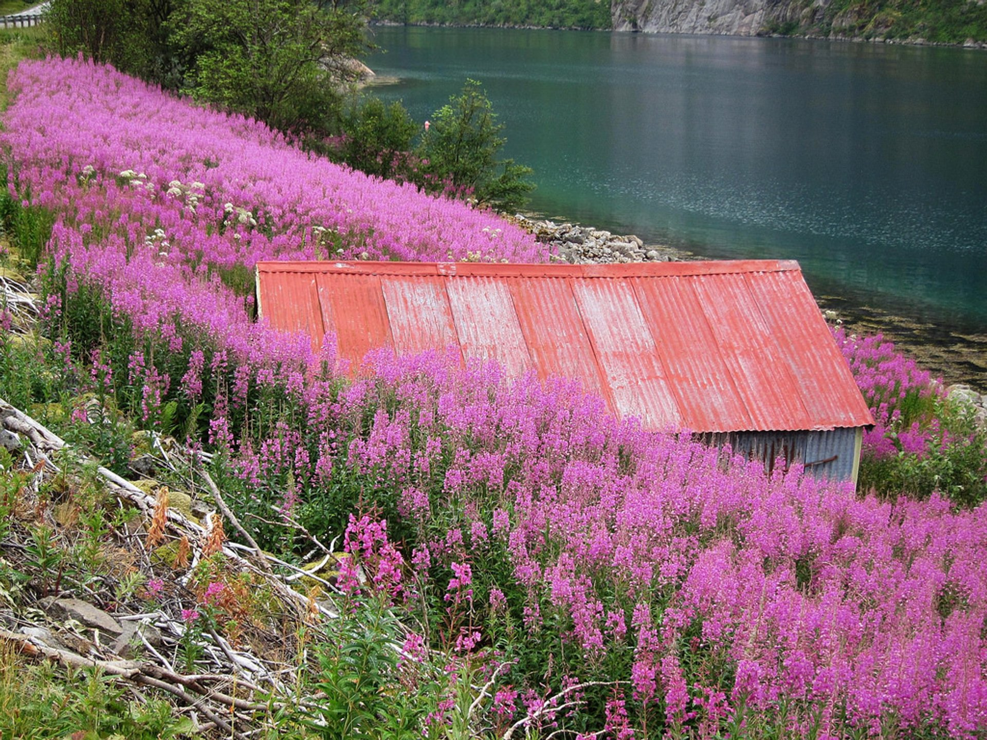 A field of fireweeds somewhere in the Lofoten islands 2020