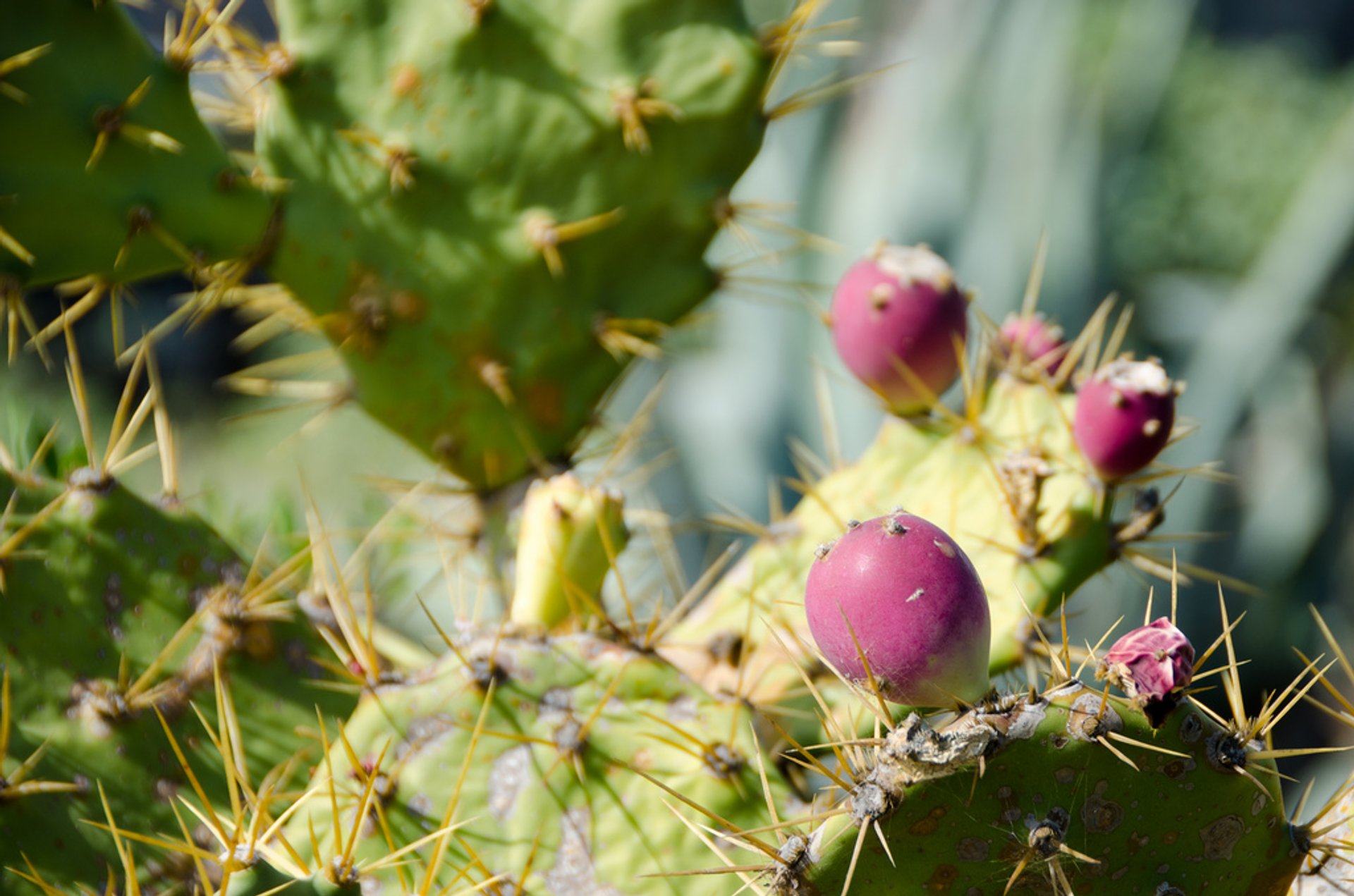 Tuno or Prickly Pear in Canary Islands 2019 - Best Time