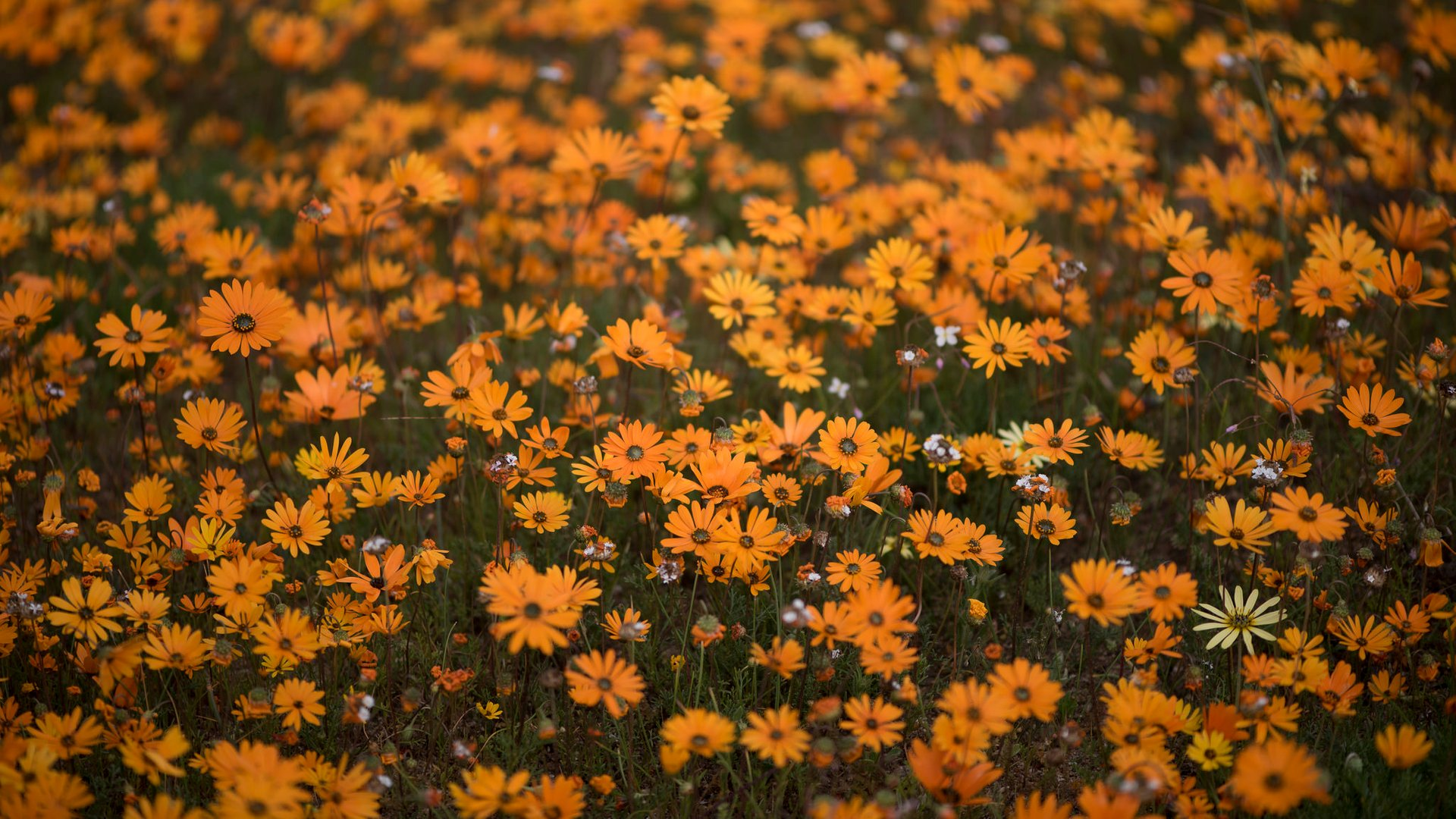 Namaqualand Daisies in South Africa - Best Time