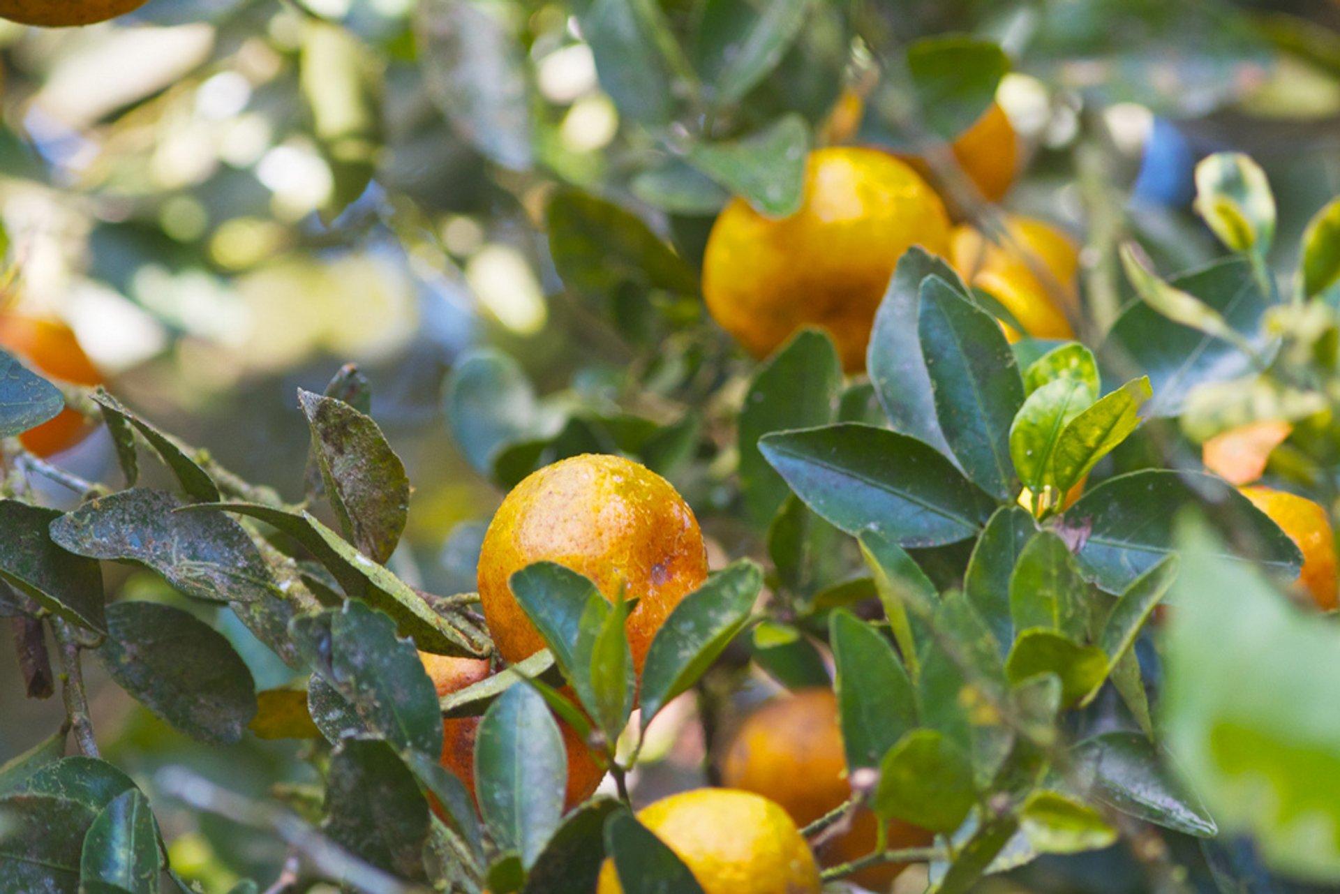 Mandarin Orange in Costa Rica 2019 - Best Time