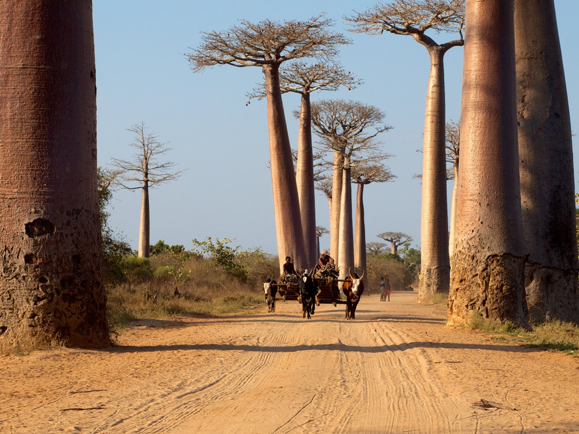 Avenue of the Baobabs in Madagascar - Best Season 2020