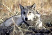 Wolves and Other Wild Animals