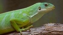 Fijian Banded Iguana Breeding